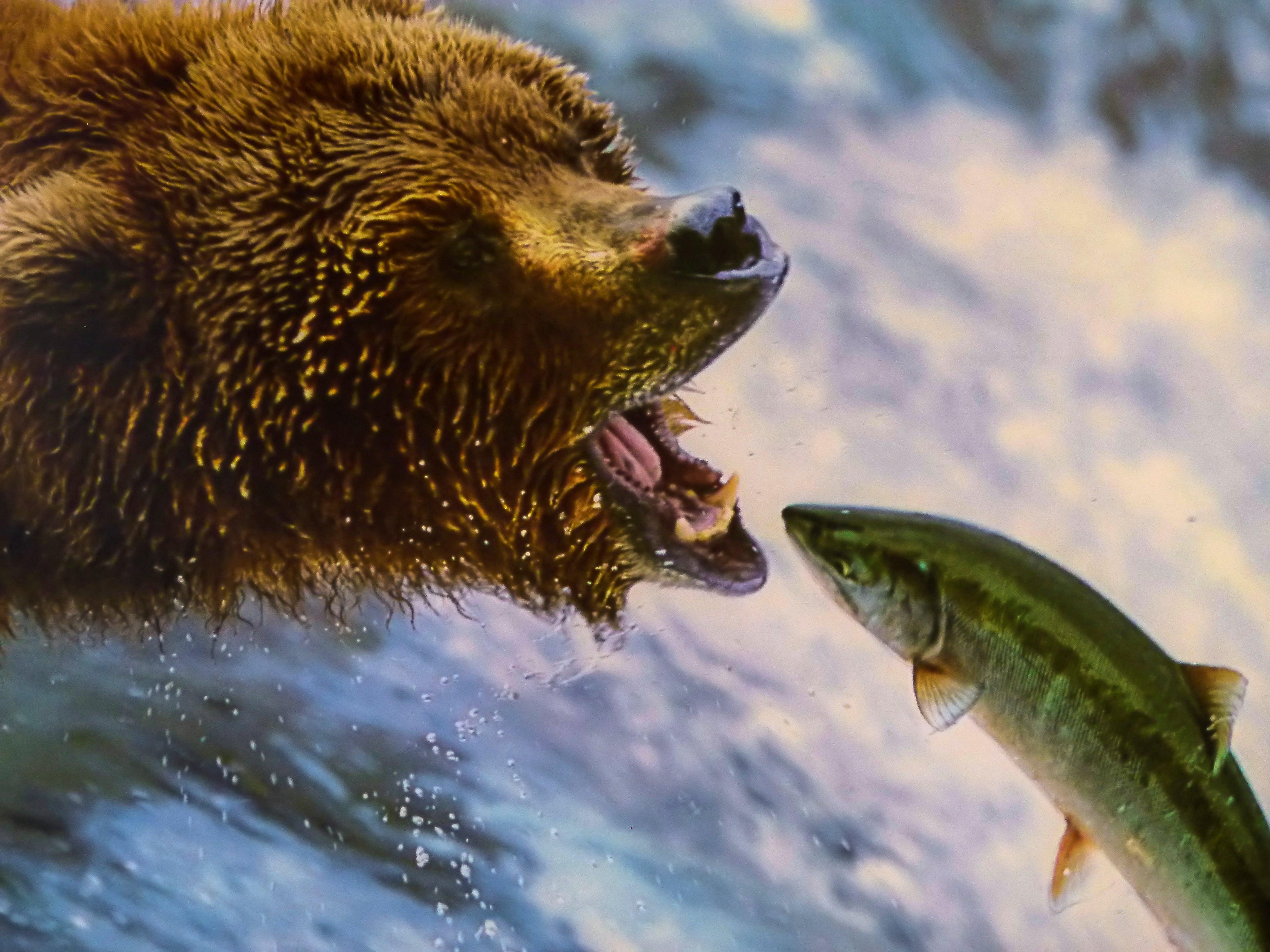 Free images nature animal wildlife food mammal fish for Bear catching fish