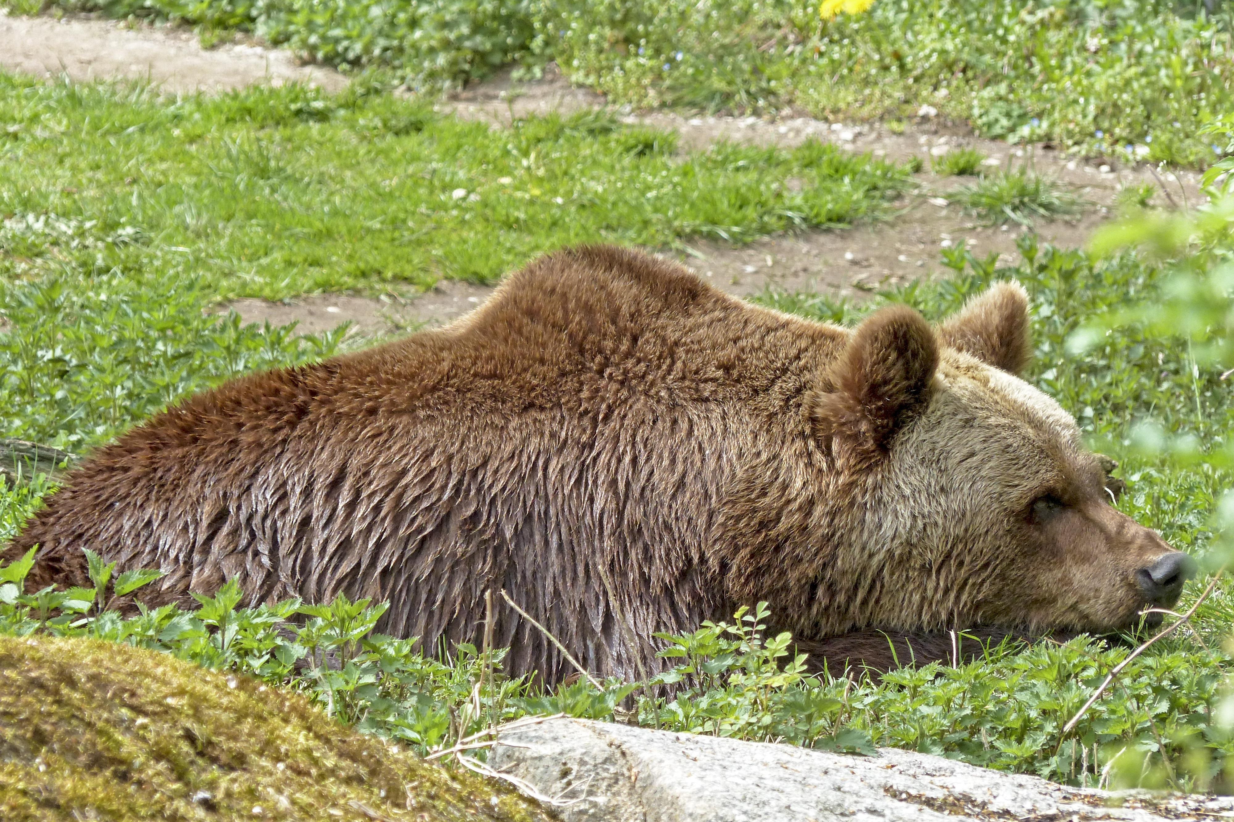 自然褐色_無料画像 : 自然, くま, 野生動物, 動物園, ナチュラル, 褐色 ...