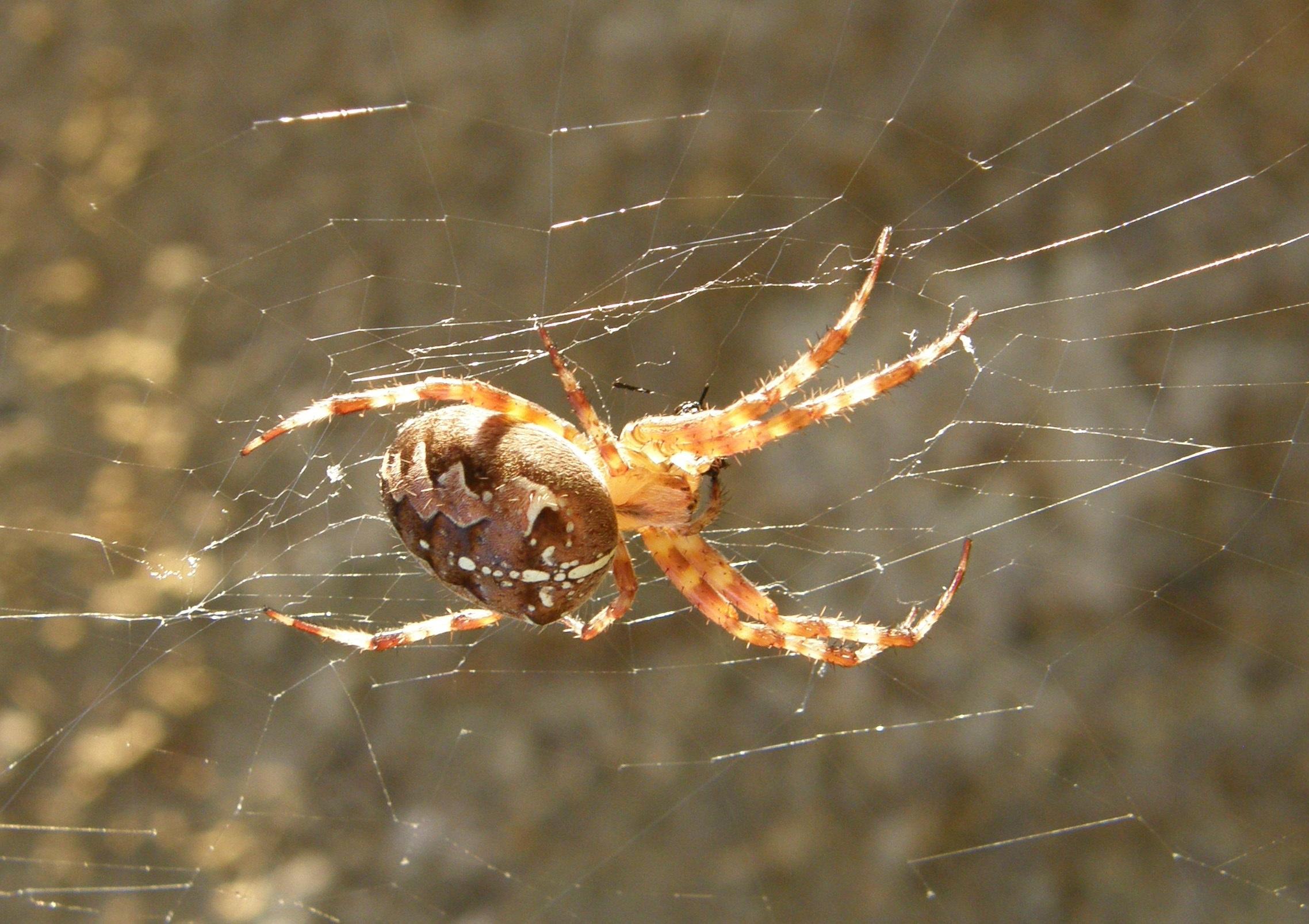 Free Images : nature, animal, fauna, material, invertebrate, spider ...