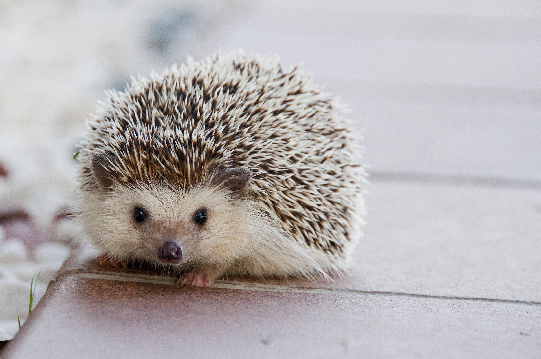 Kostenlose Foto Natur Tier Niedlich Haustier Klein Saugetier