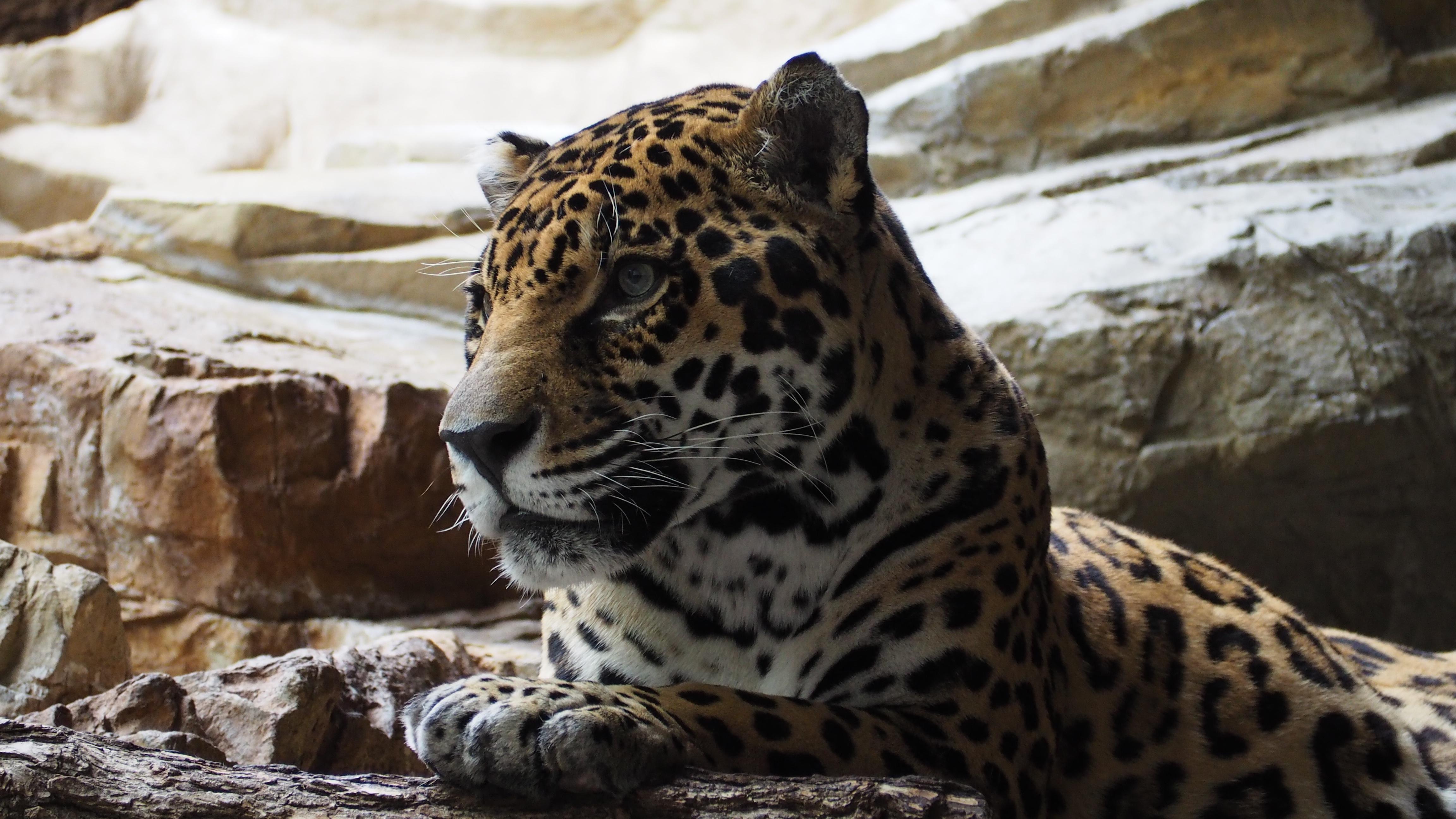Big Cat Jaguar York
