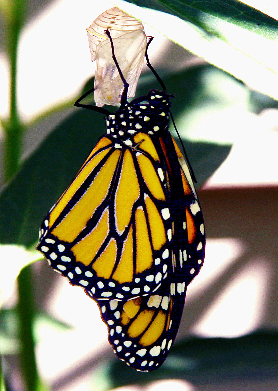 Gambar alam hewan pola serangga fauna invertebrata kupu kupu #0: nature animal pattern insect butterfly fauna invertebrate monarch monarch butterfly arthropod pollinator moths and butterflies