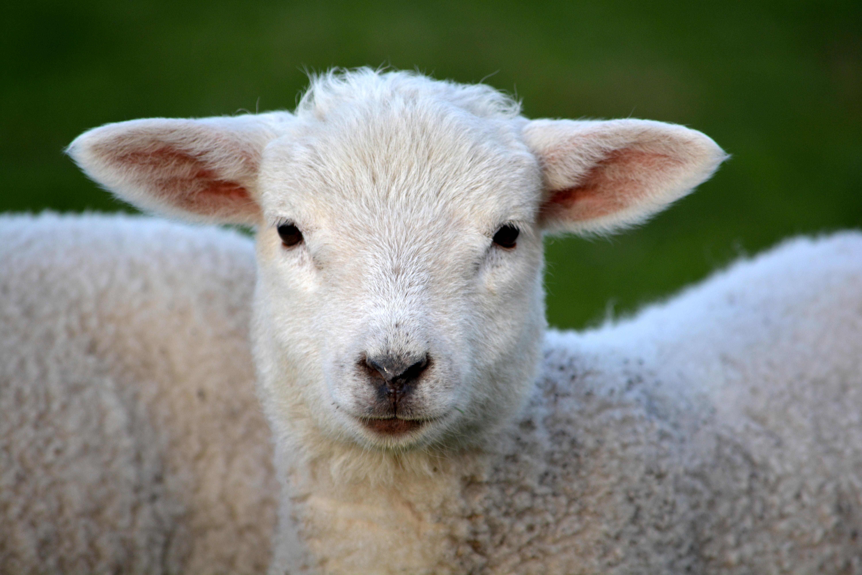 Images gratuites la nature animal printemps p turage - Photos de moutons gratuites ...