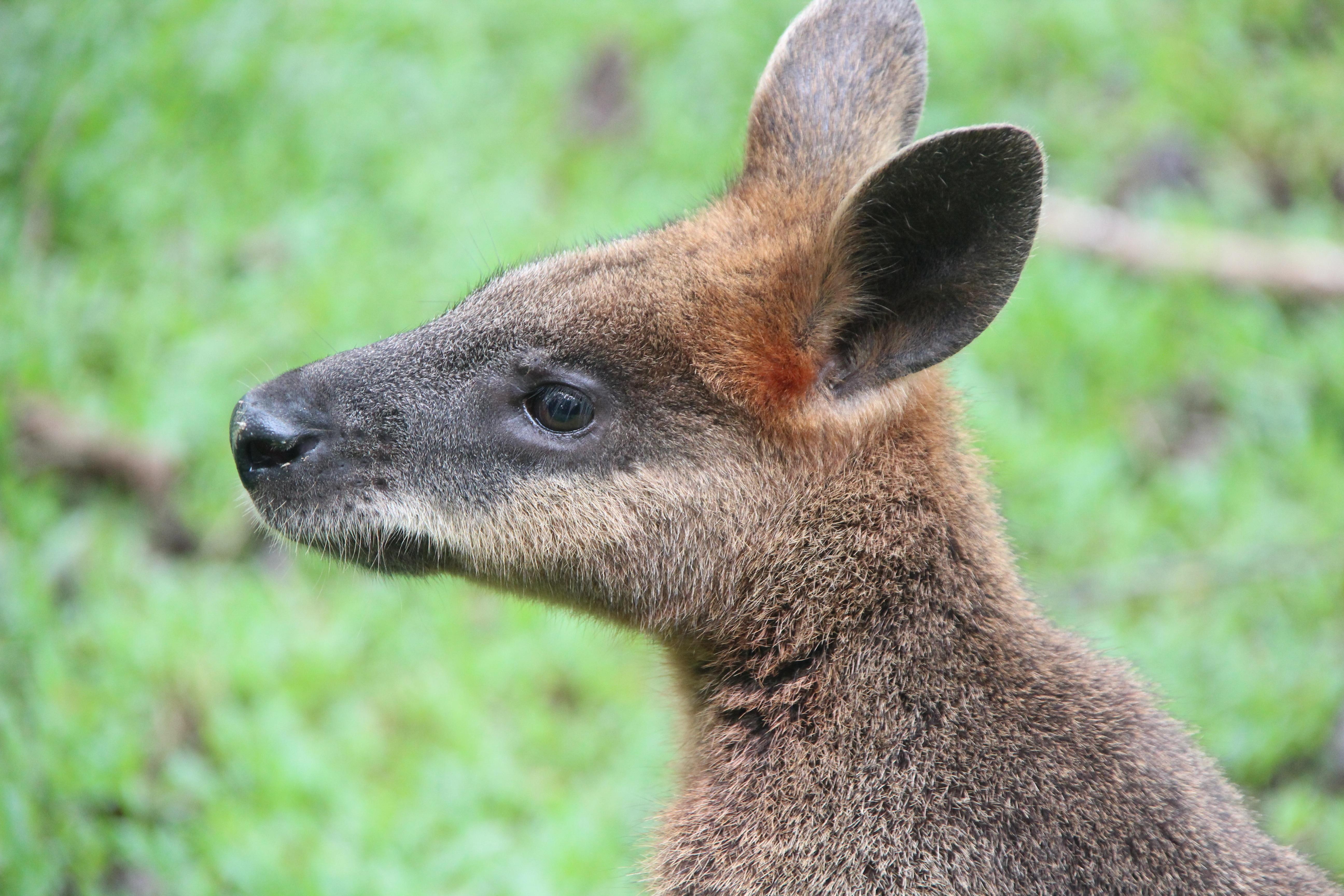 Gratis billeder : natur, dyr, dyreliv, hjort, pattedyr, fauna, kænguru, wallaby, Australien ...