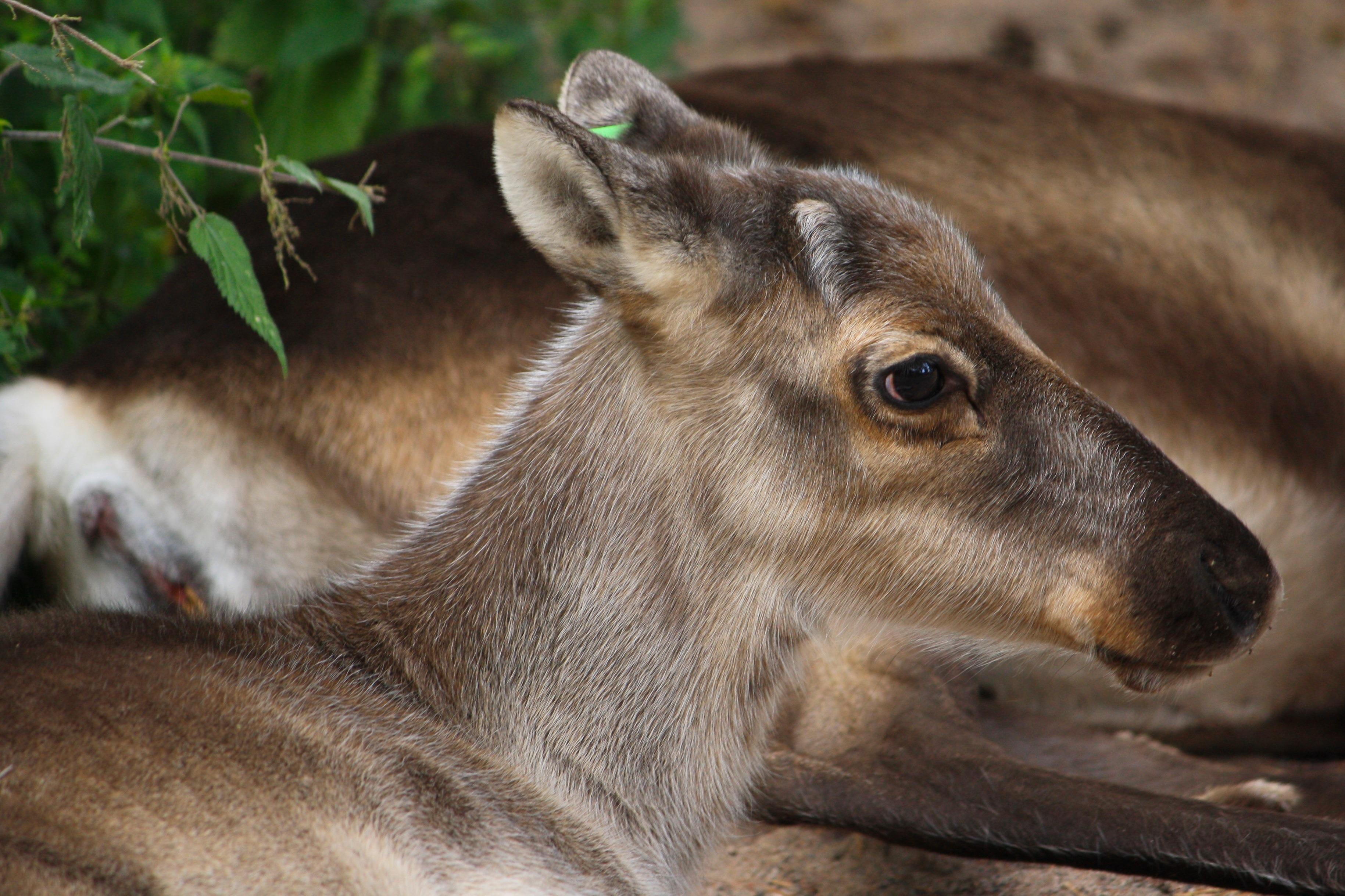 Natur Tier Tierwelt Hirsch Zoo Makro Säu ier Fauna Pflanzen Nahansicht draußen Rentier Wirbeltier Finnland Weißwedelhirsch