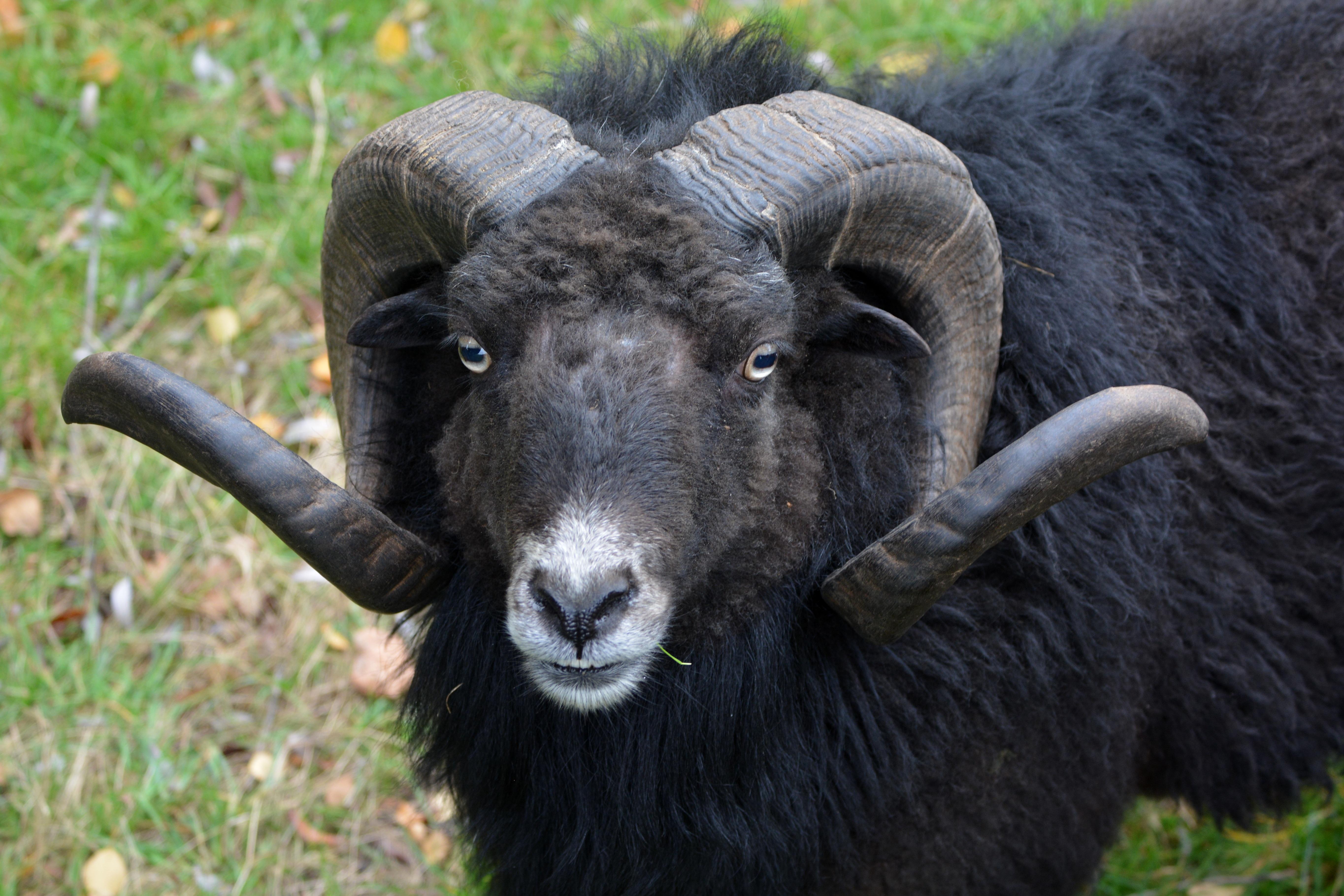 free images nature animal wildlife horn pasture sheep