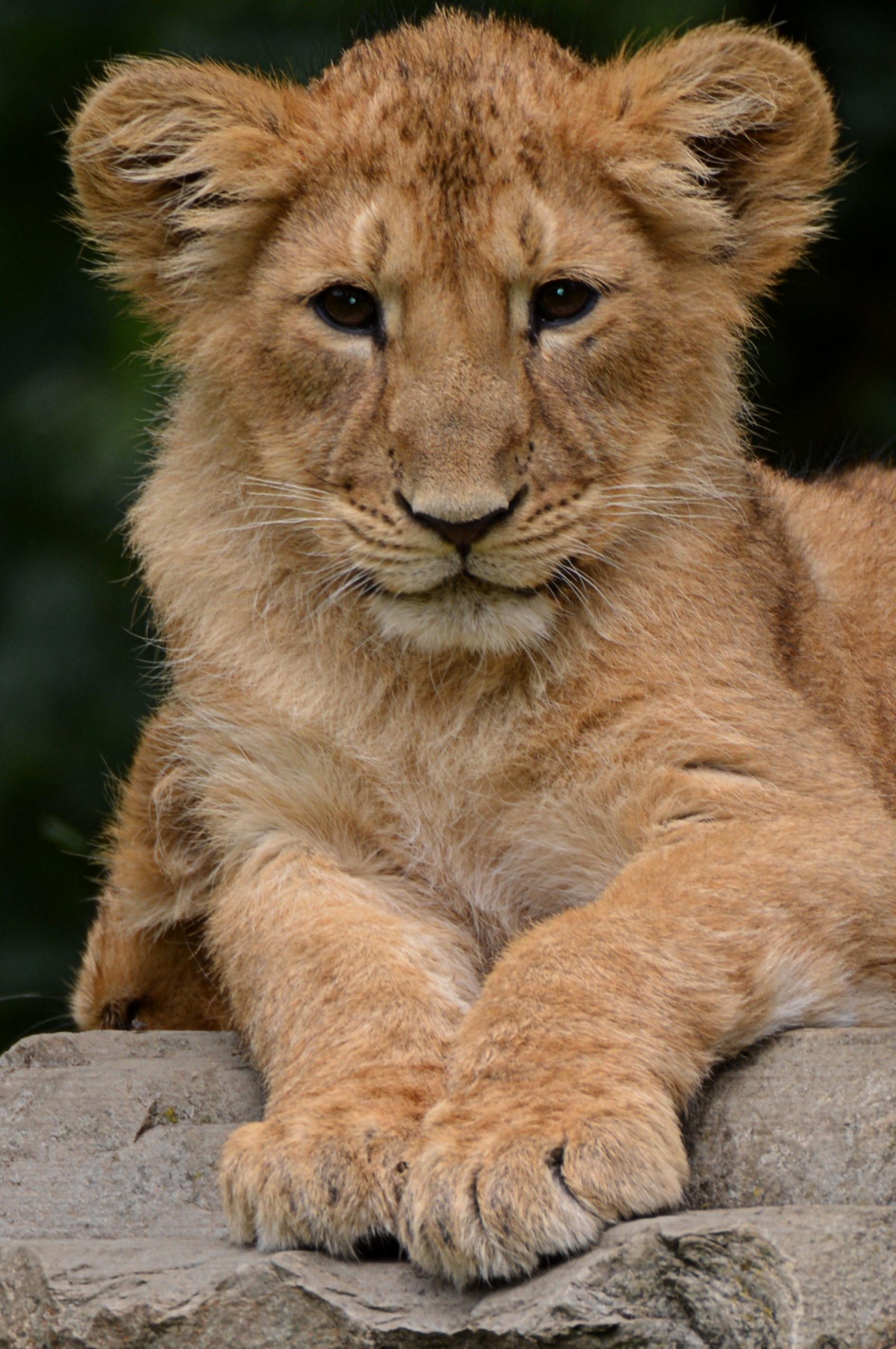 Images gratuites la nature animal faune crini re - Photos de lions gratuites ...