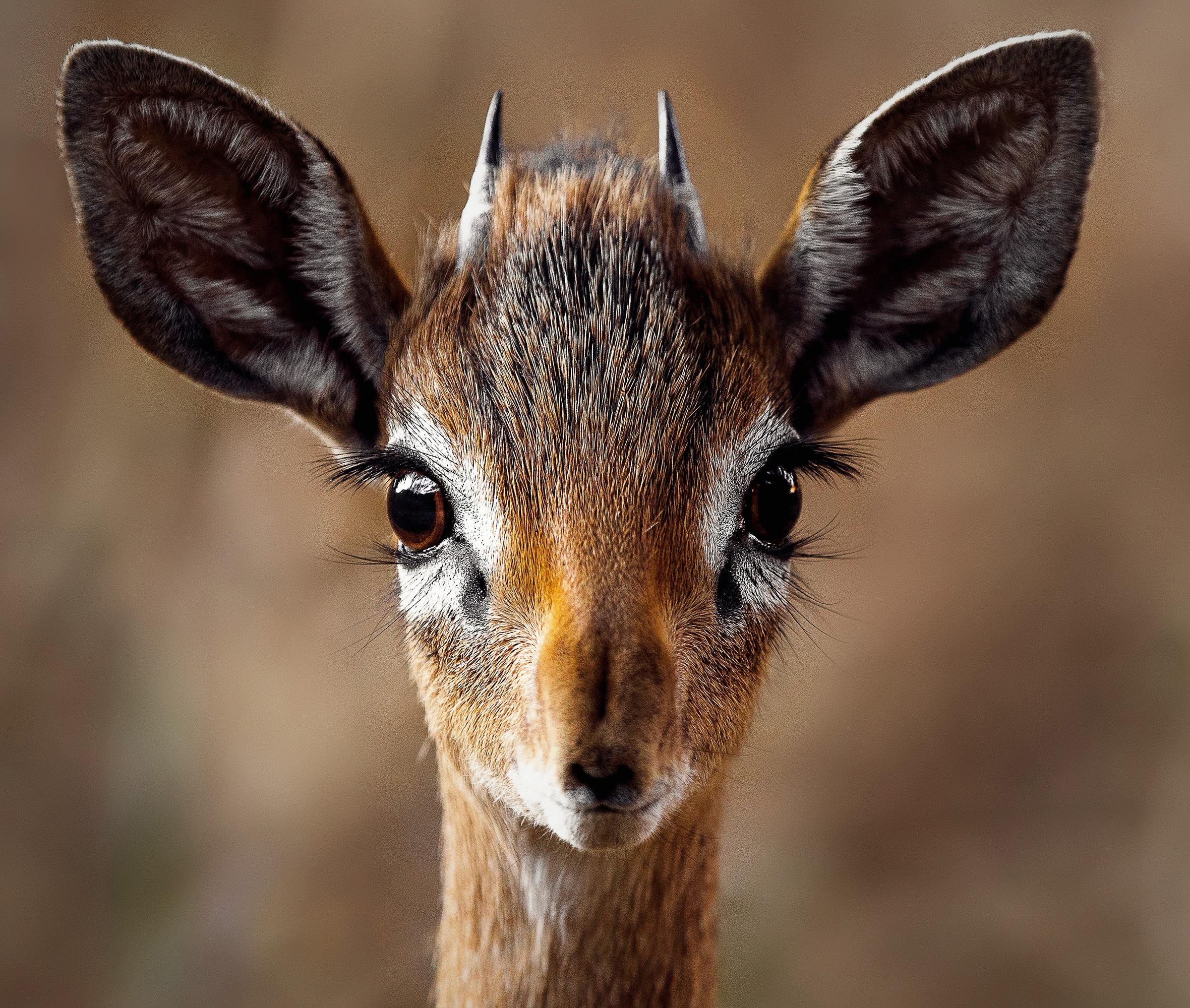 Free Images : nature, animal, wildlife, horn, portrait ...