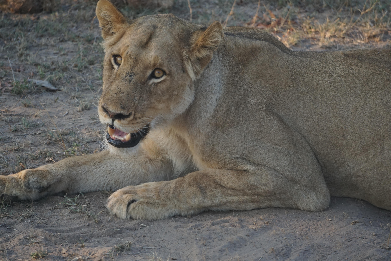 puma animal africa