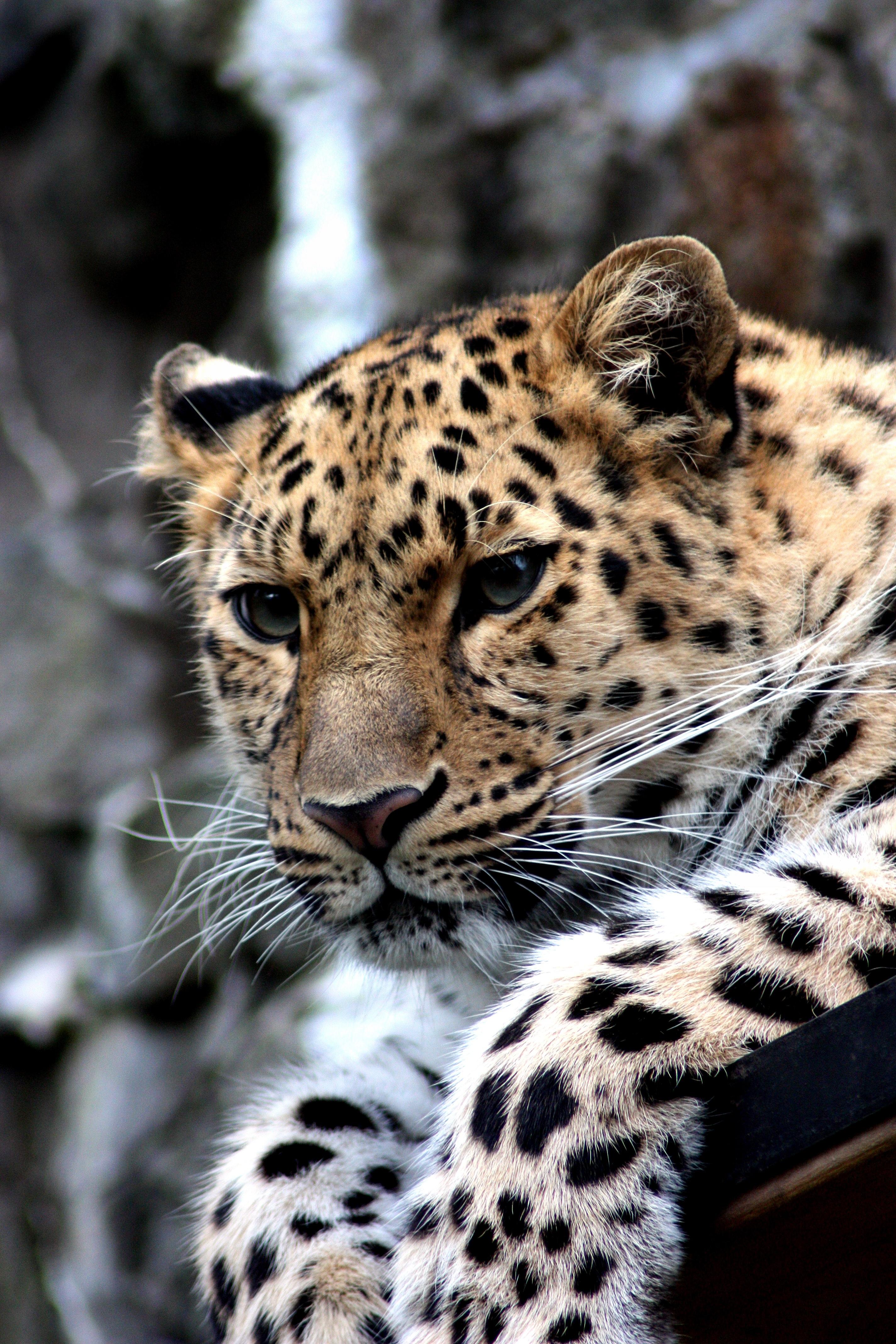 Cheetah Fur Close Up Free Images : n...