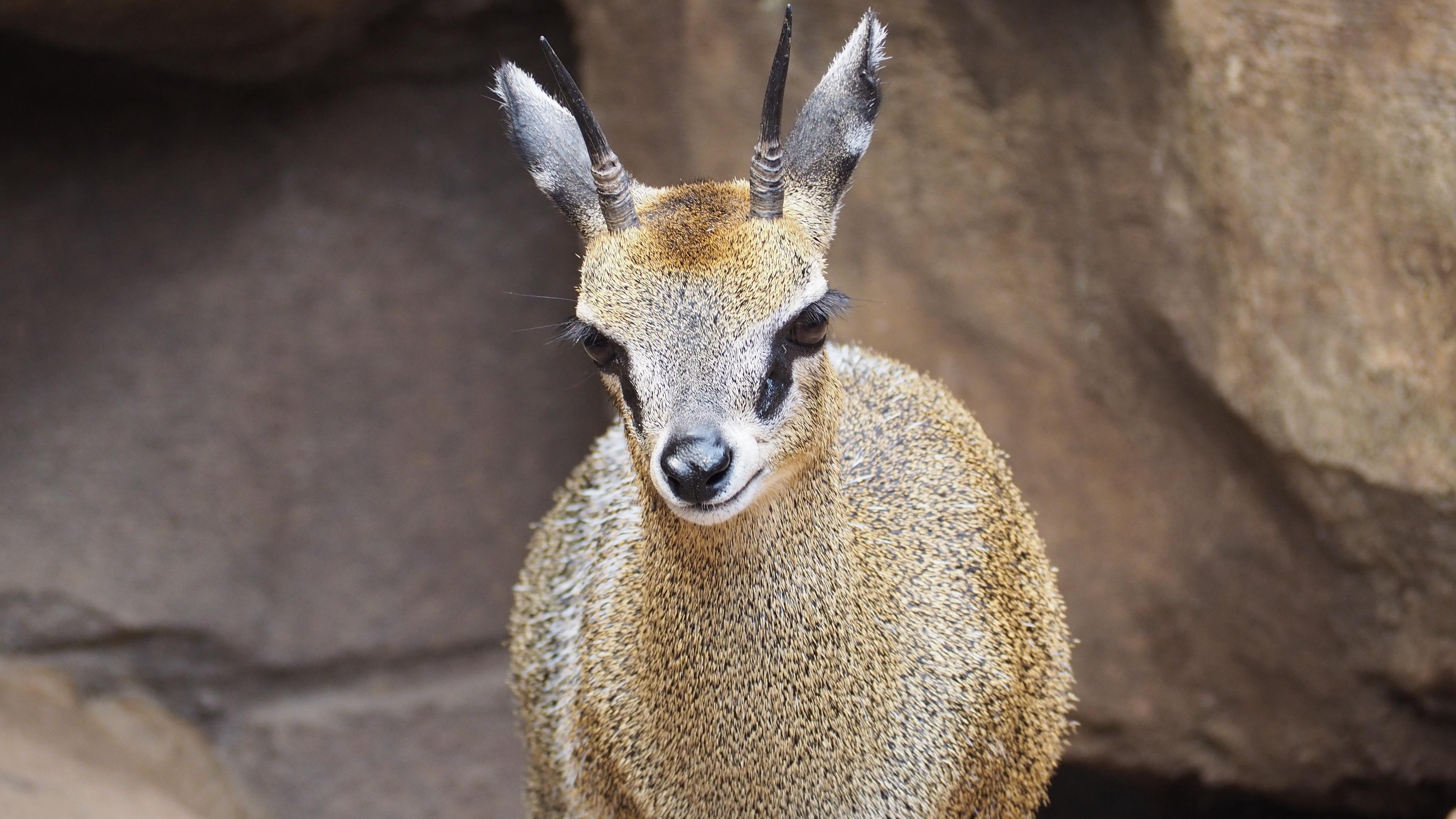 Immagini gratis Natura, Animale, Fauna selvatica, Selvaggio, Zoo, Corno-2836
