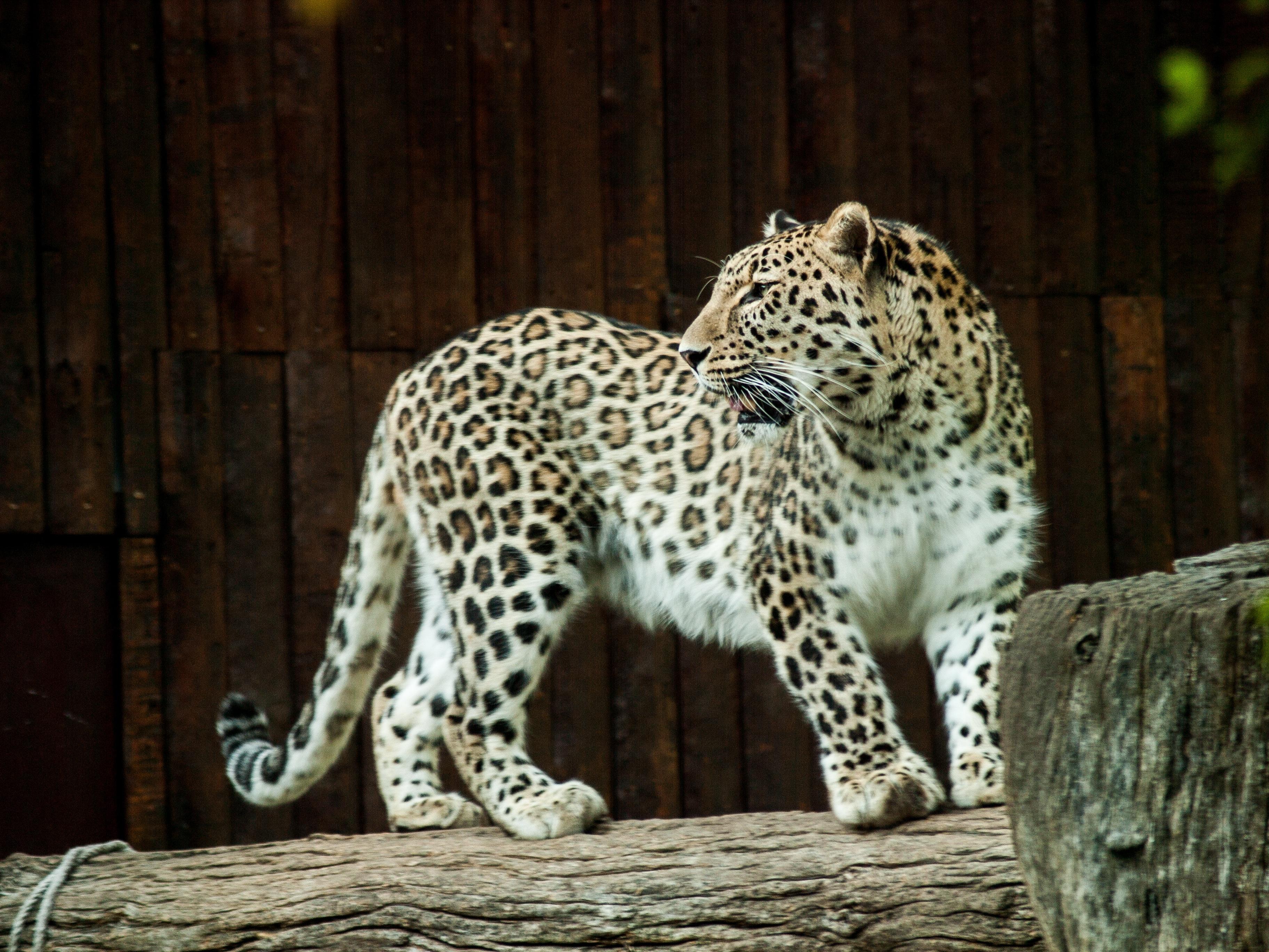 Nature Animal Wildlife Zoo Cat Feline Mammal Fauna Leopard Cheetah Claws Skin Vertebrate Jaguar Paws