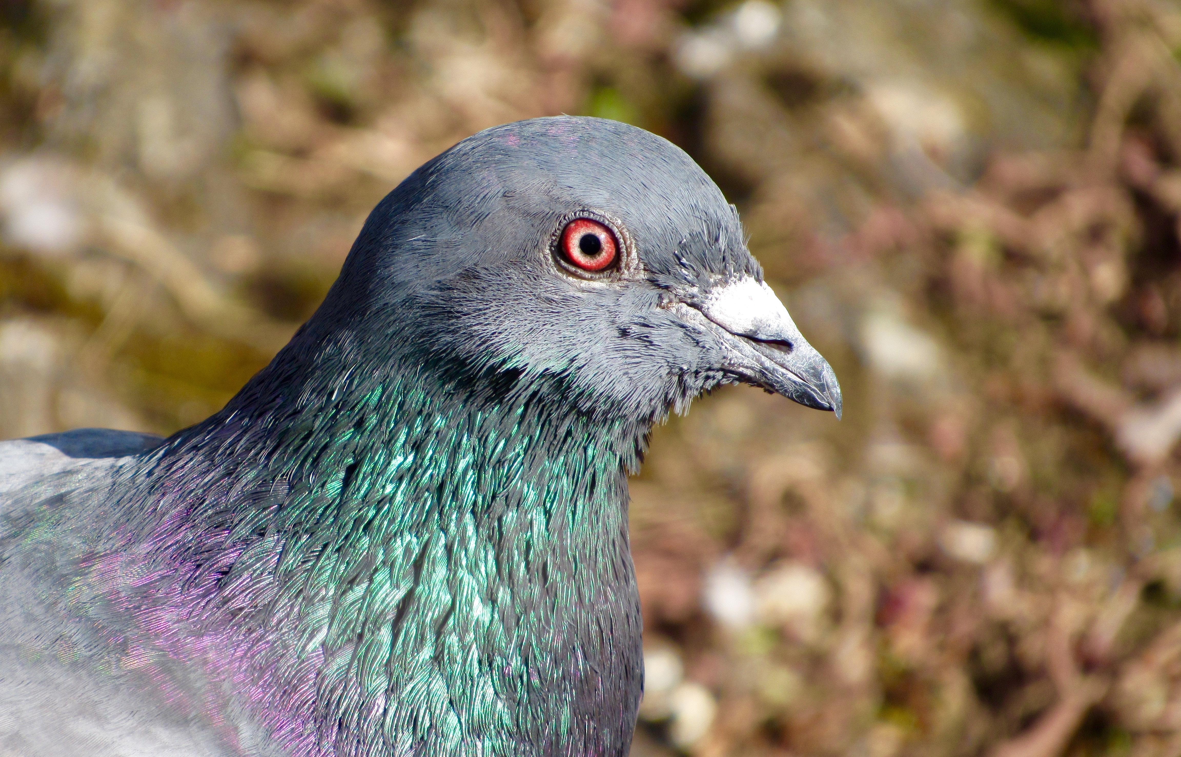 Download 106 Foto Gambar Burung Merpati Kelabu  Paling Keren Gratis