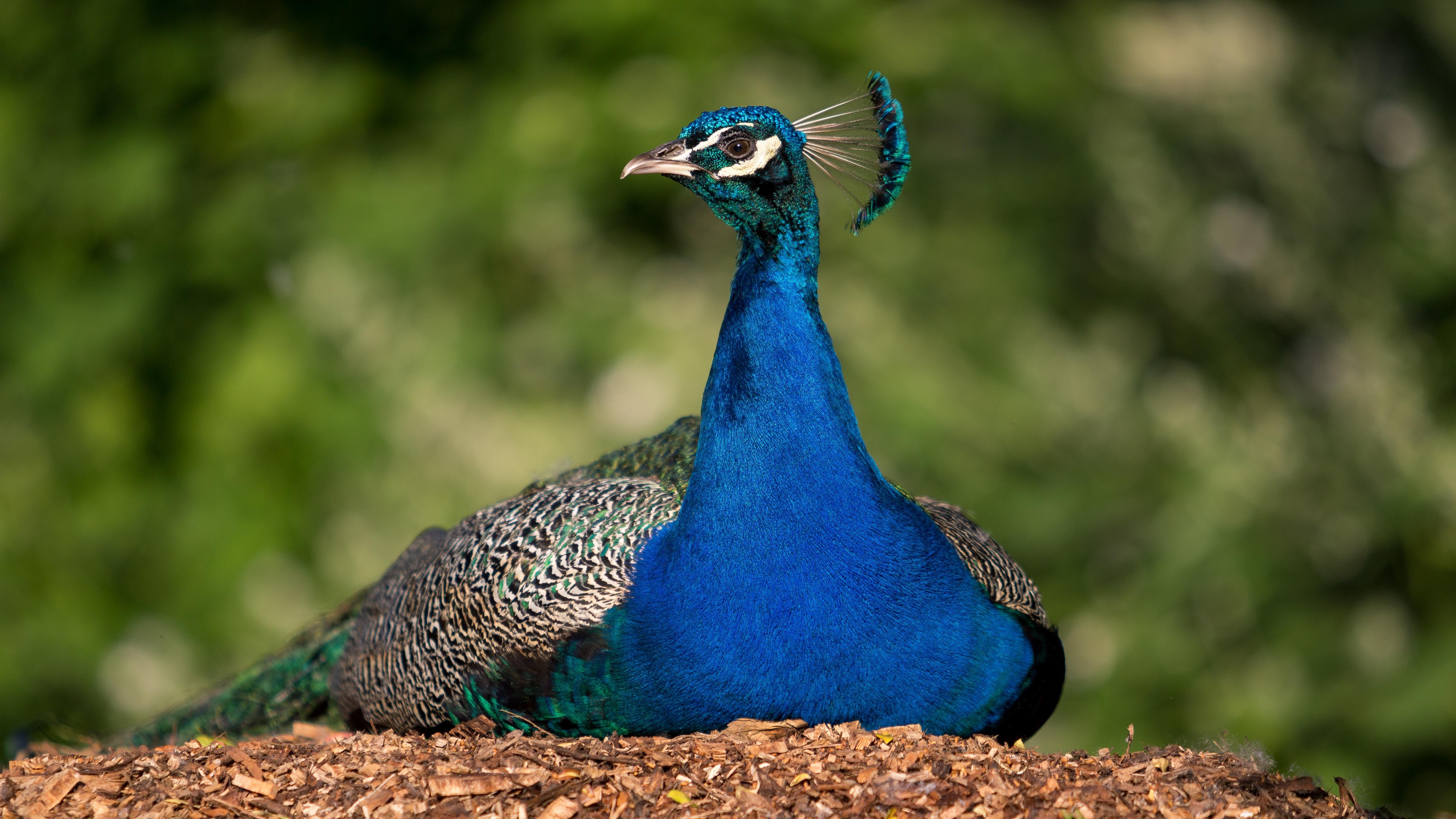 Nature Bird Prairie Animal Wildlife Beak Color Blue Colorful Fowl Fauna Peacock Plumage Galliformes Vertebrate Peafowl