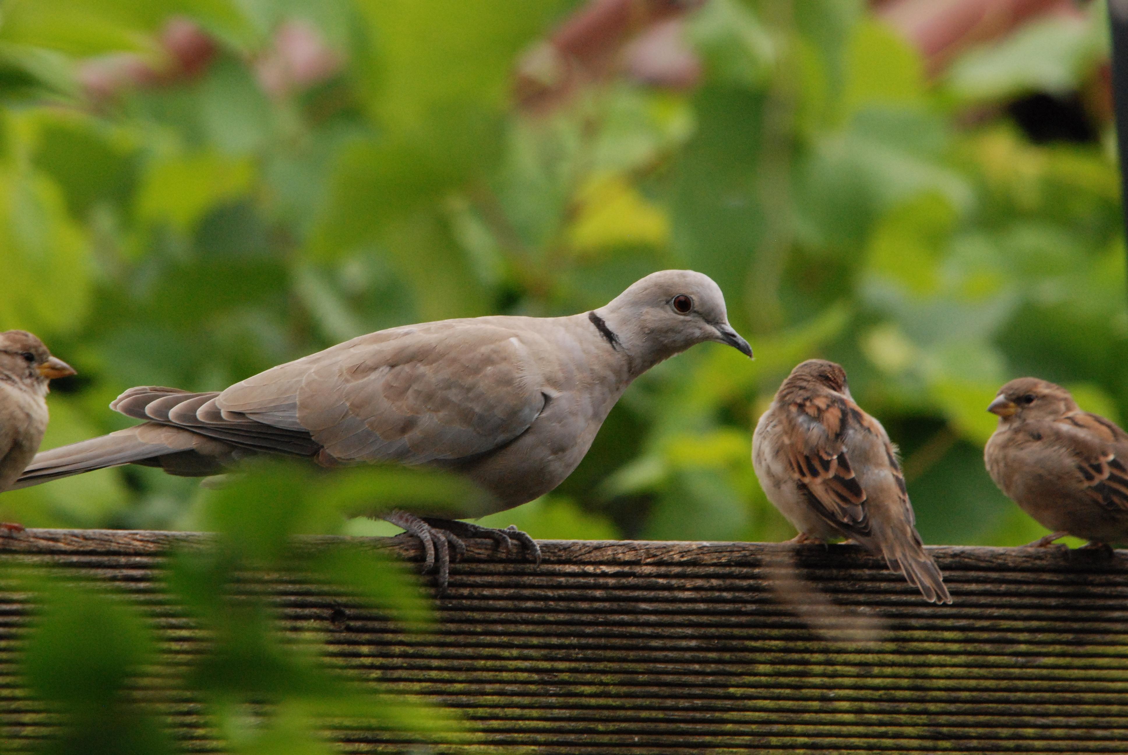 Сравни передвижение воробья и голубя