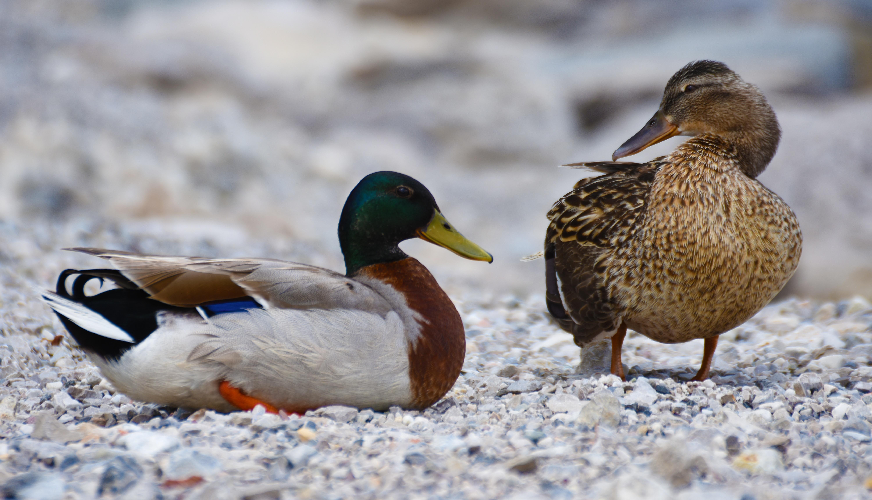 Nature Bird Wildlife Beak Park Fauna Poultry Duck Animals Vertebrate Ducks Waterfowl Water Aquatic