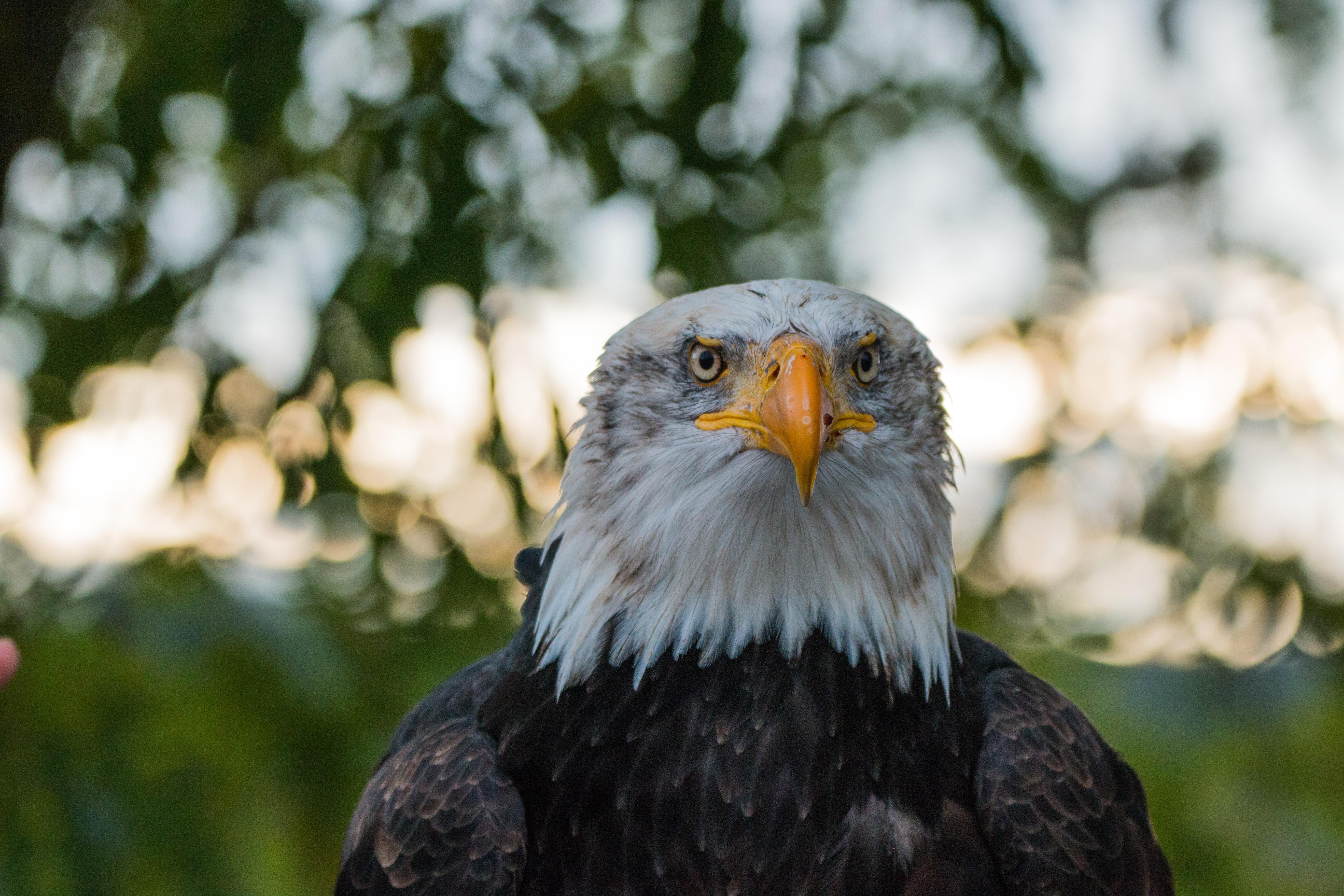 Unis Bec Etats Gratuites La Aigle Nature Faune Images Le O7S0wwq