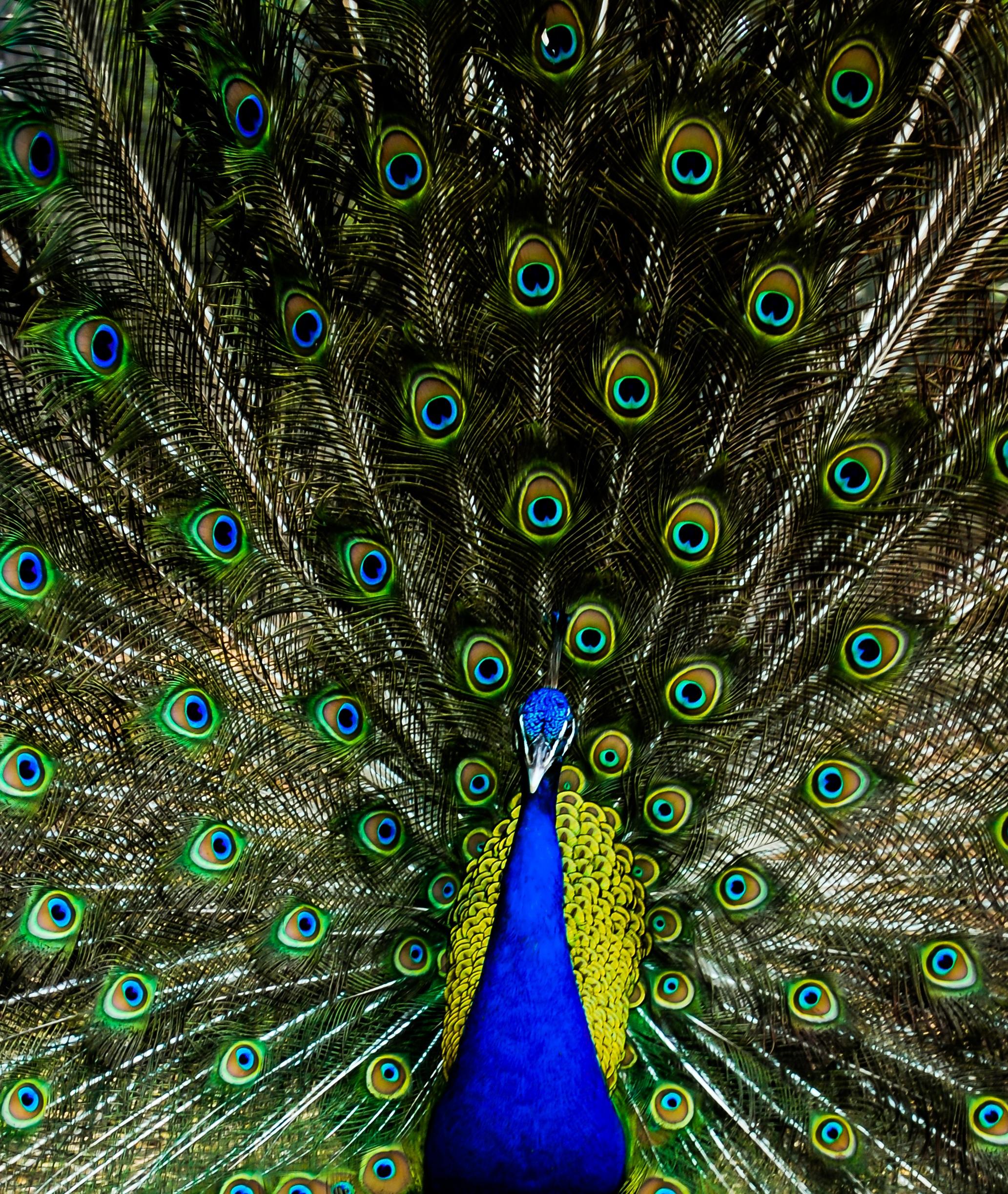Images gratuites la nature oiseau aile animal vert for Couleur bleu paon