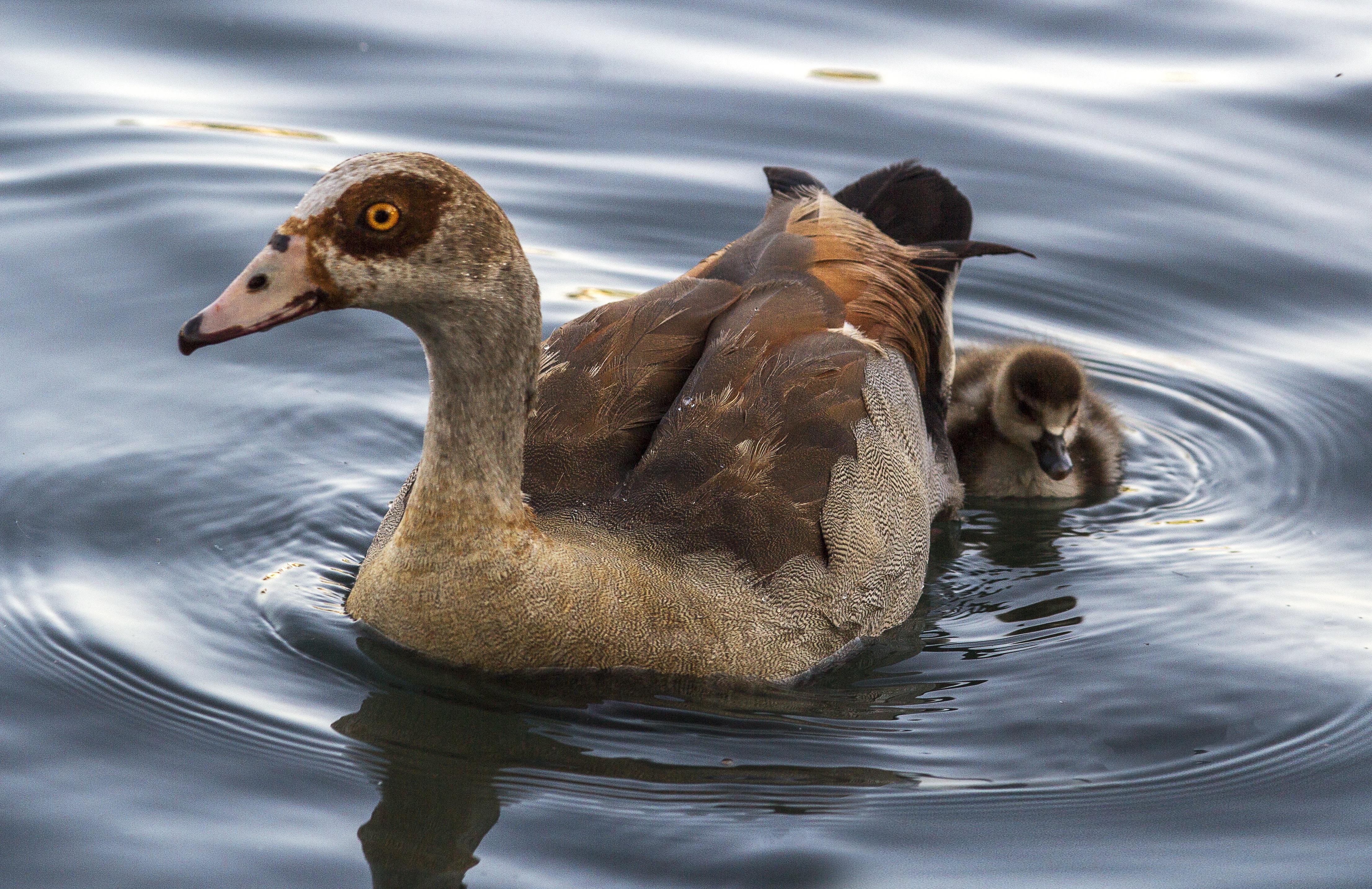 93 Gambar Binatang Anak Itik Terbaru