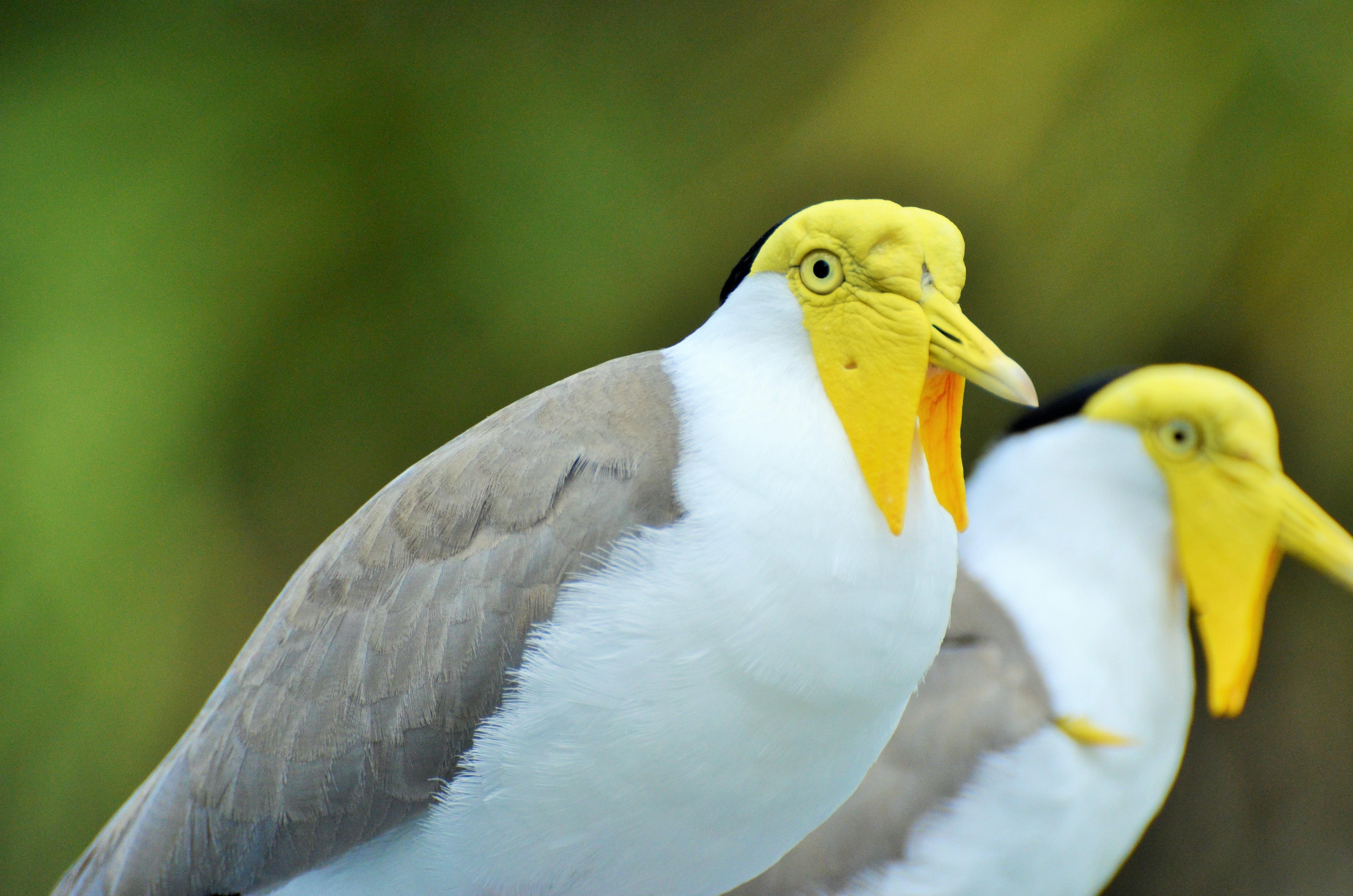 Images gratuites la nature oiseau aile faune zoo for Oiseau gris et blanc