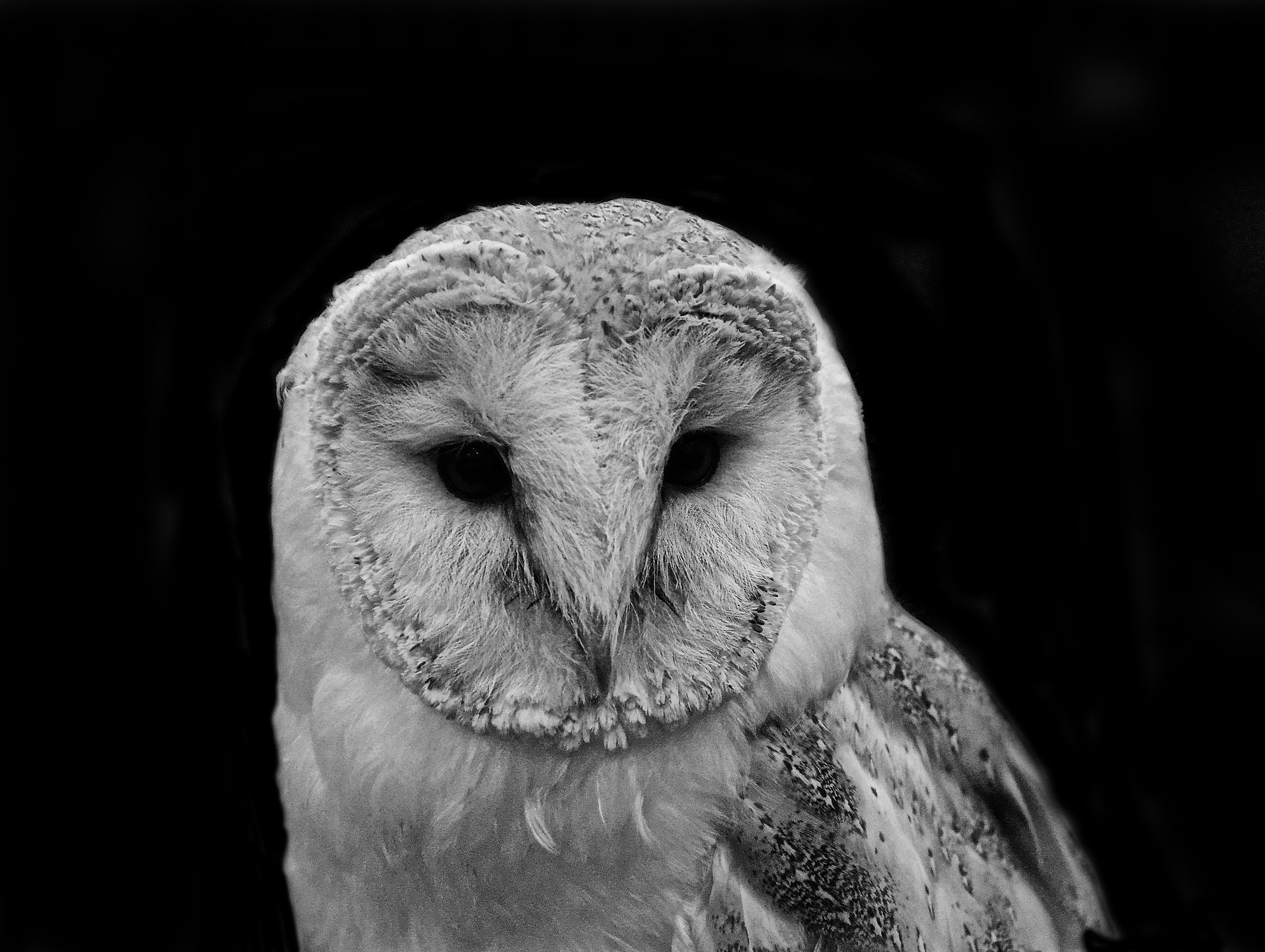 Nature bird wing black and white white photography barn animal wildlife beak black monochrome owl fauna