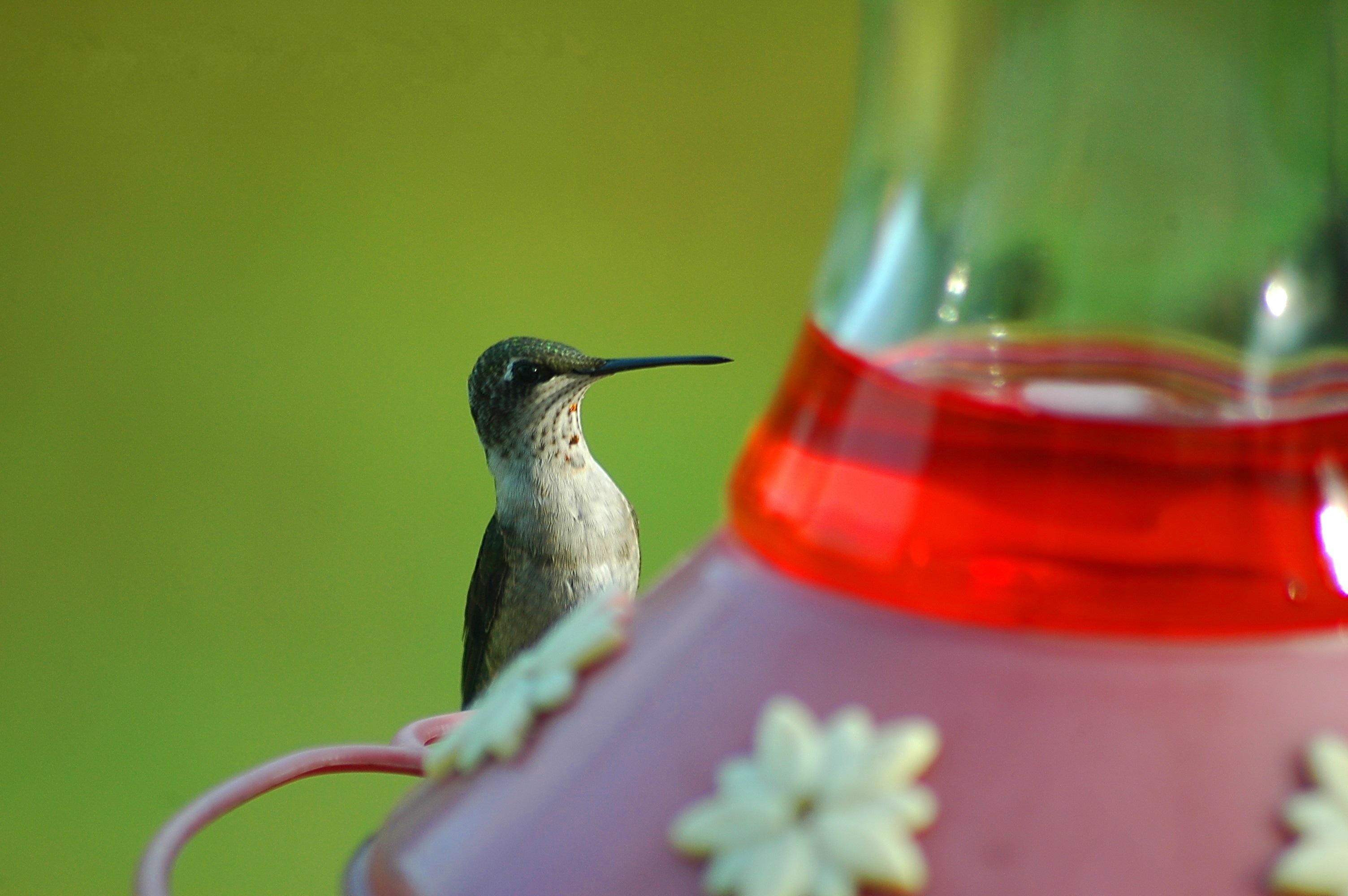 Rubin torkú kolibri