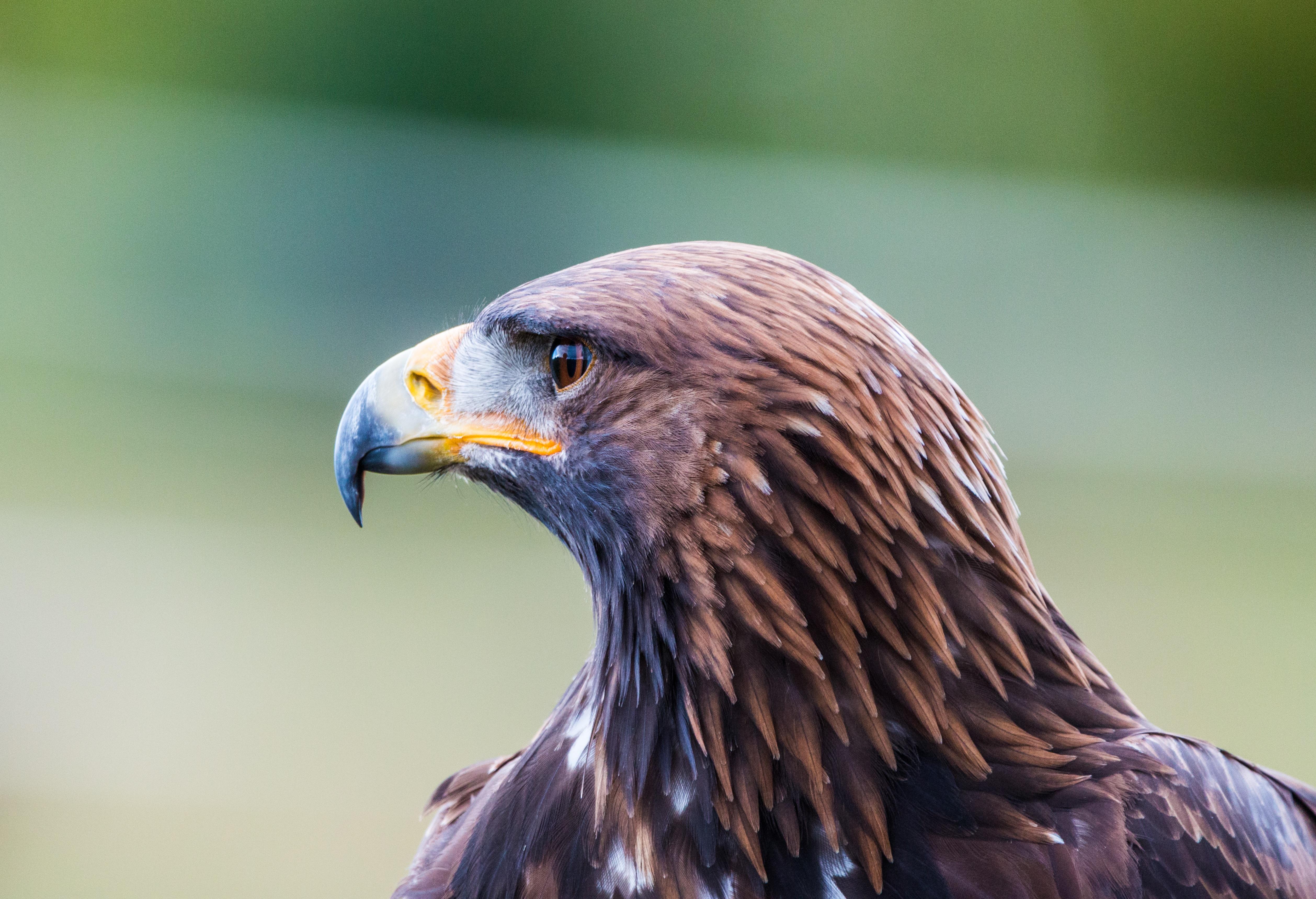 82 Gambar Burung Rajawali Emas HD