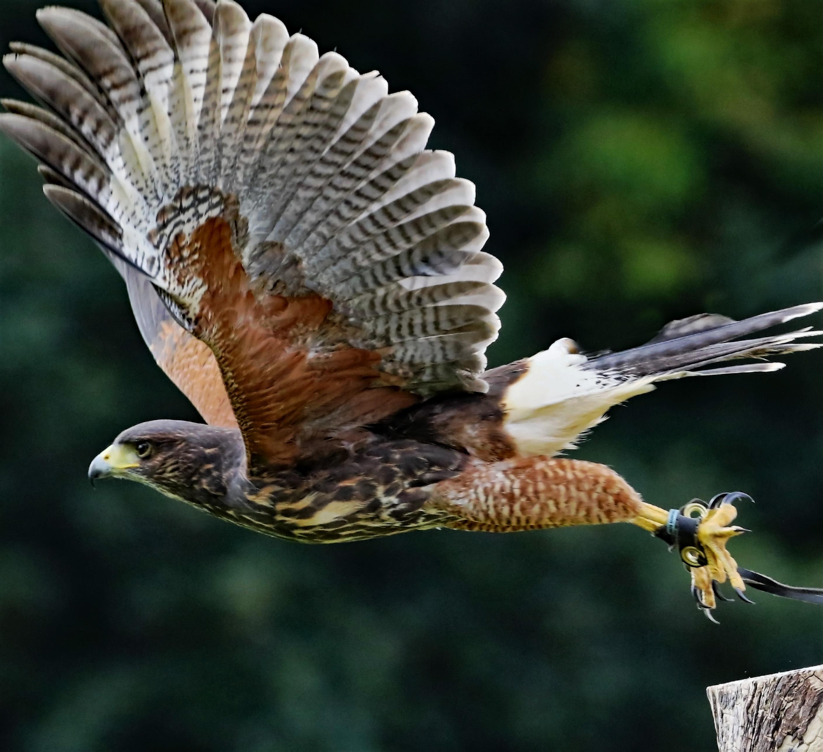 Free Images : nature, wing, fly, wildlife, beak, eagle ...
