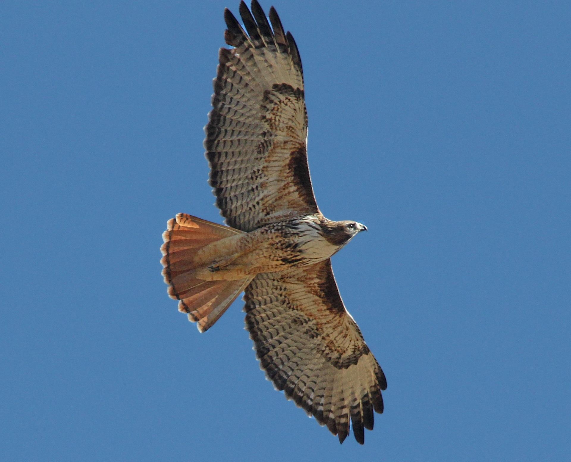 Afbeeldingen Roofvogels