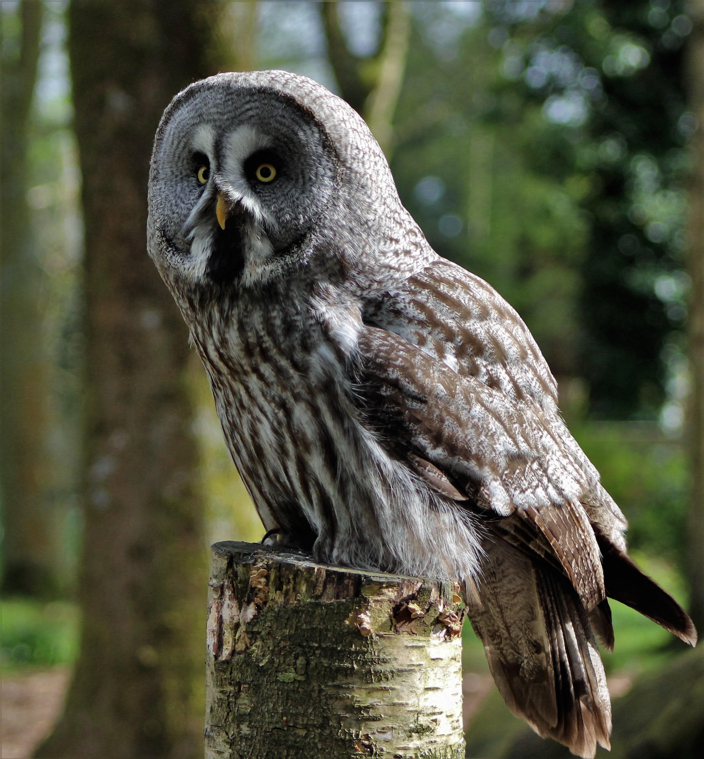 600+ Foto Gambar Burung Hantu HD Paling Keren Free
