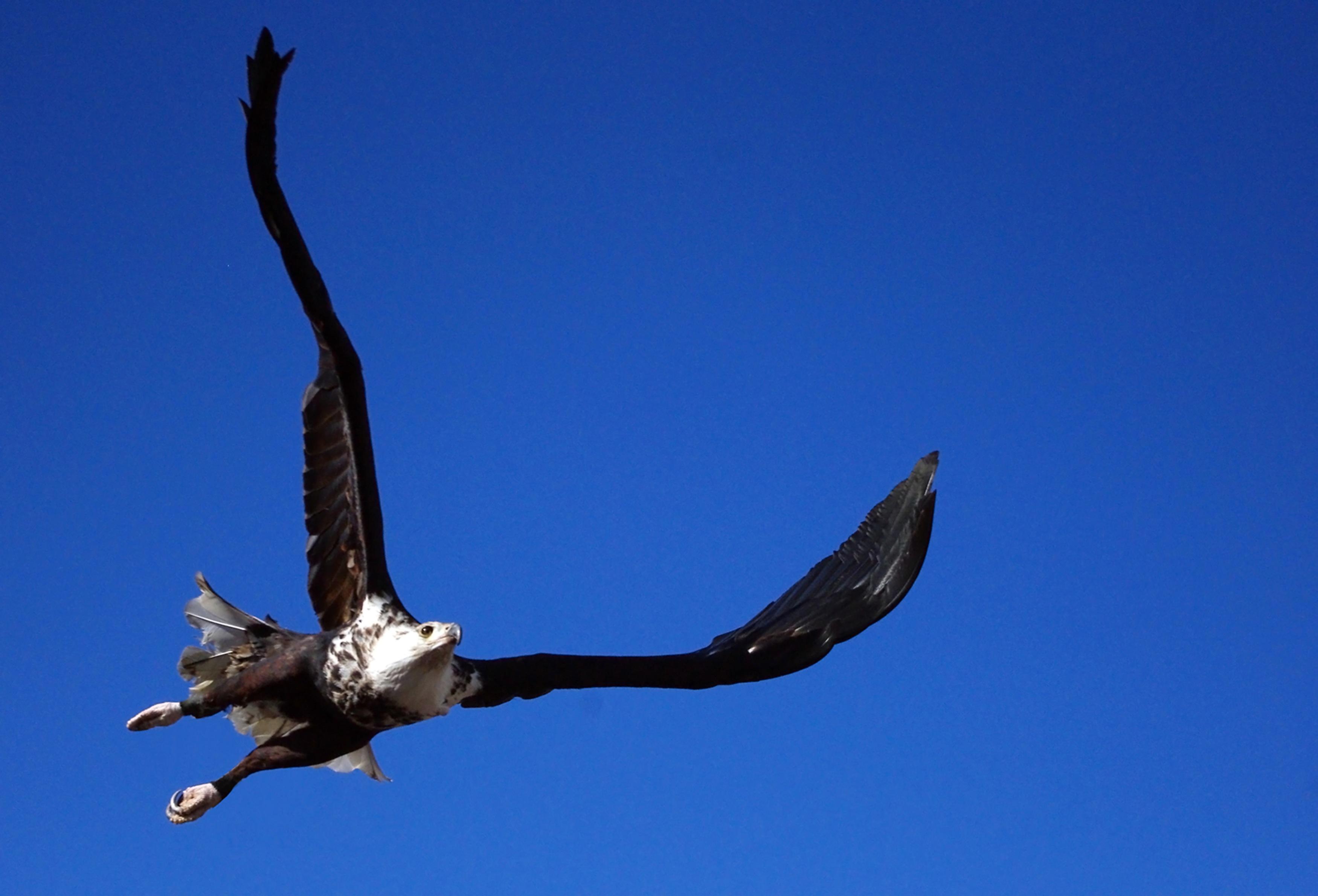 980 Gambar Burung Elang Cantik Terbaru