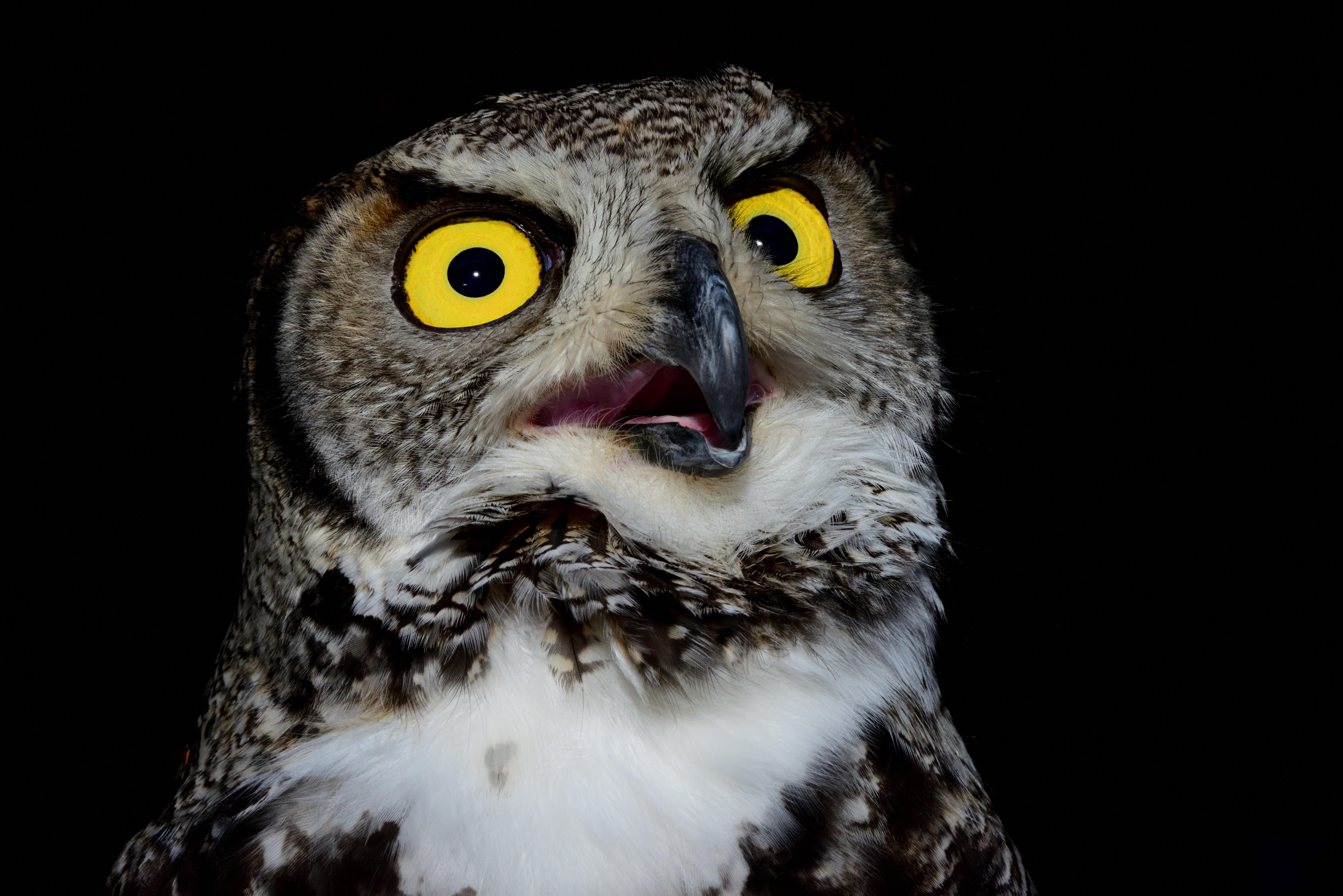 Unduh 92+  Gambar Burung Hantu Mata Kuning  Terbaik Gratis