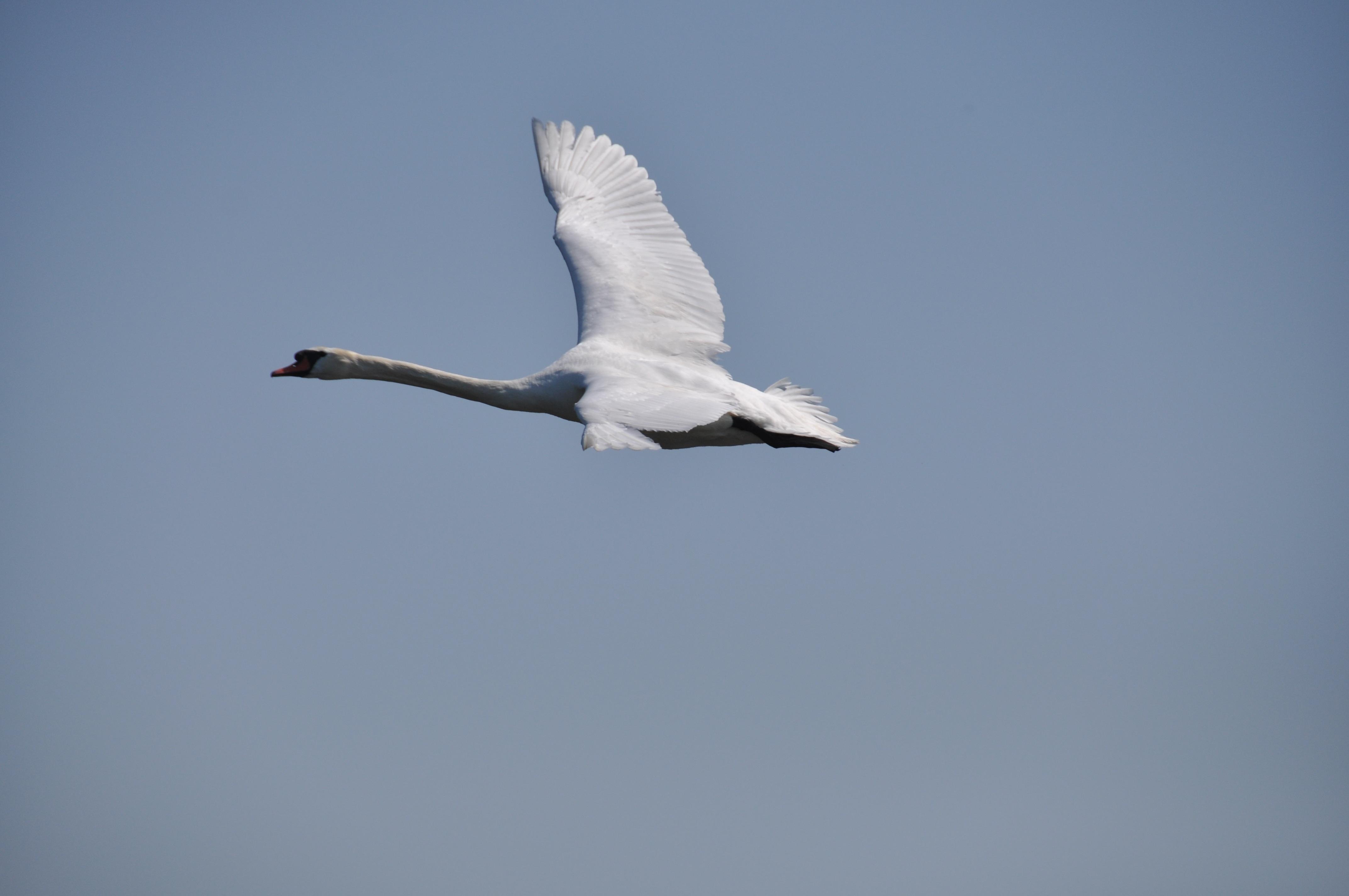 Фотообои с лебедями основы маринадов