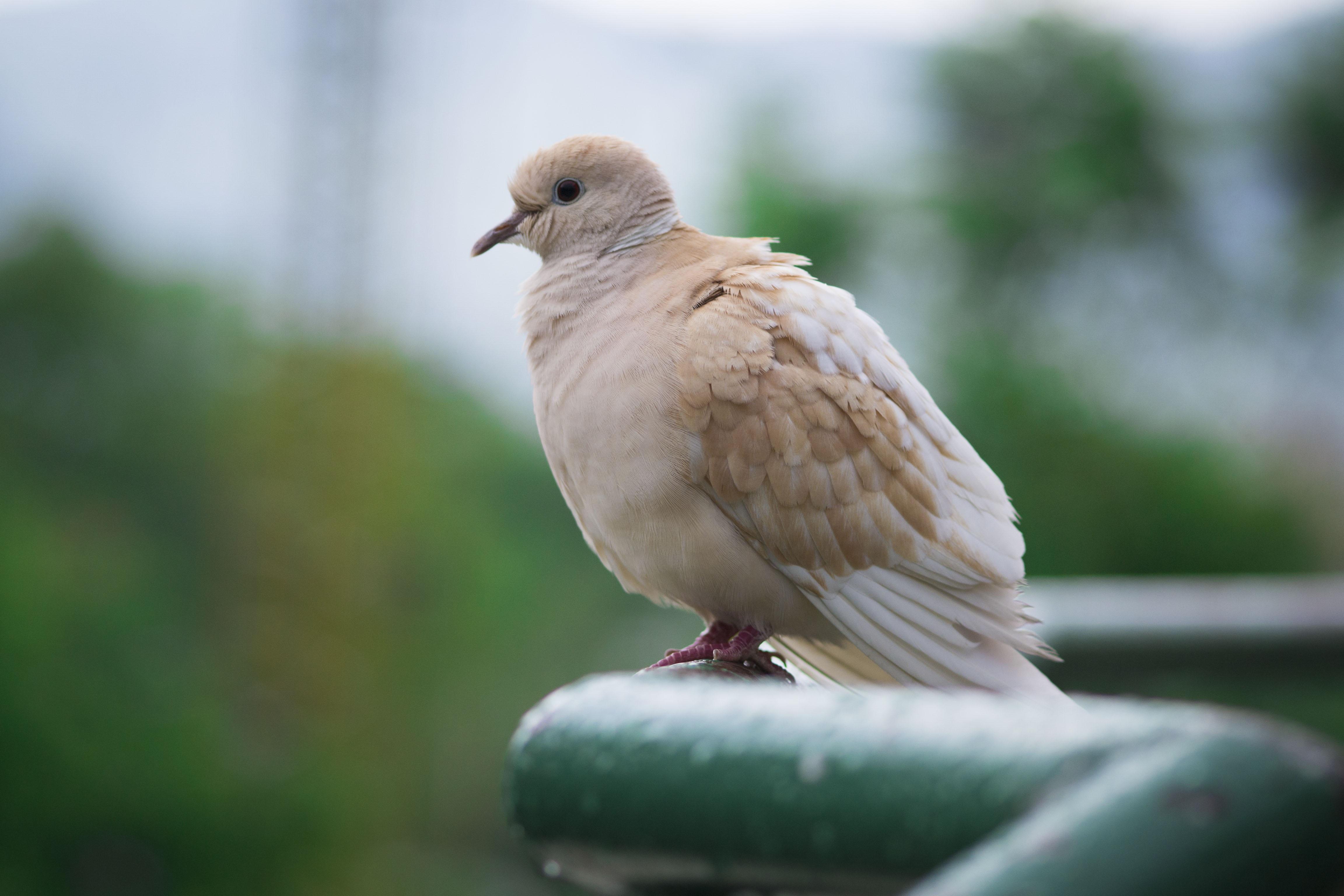 83 Foto Gambar Burung Merpati Gereja  Terbaik