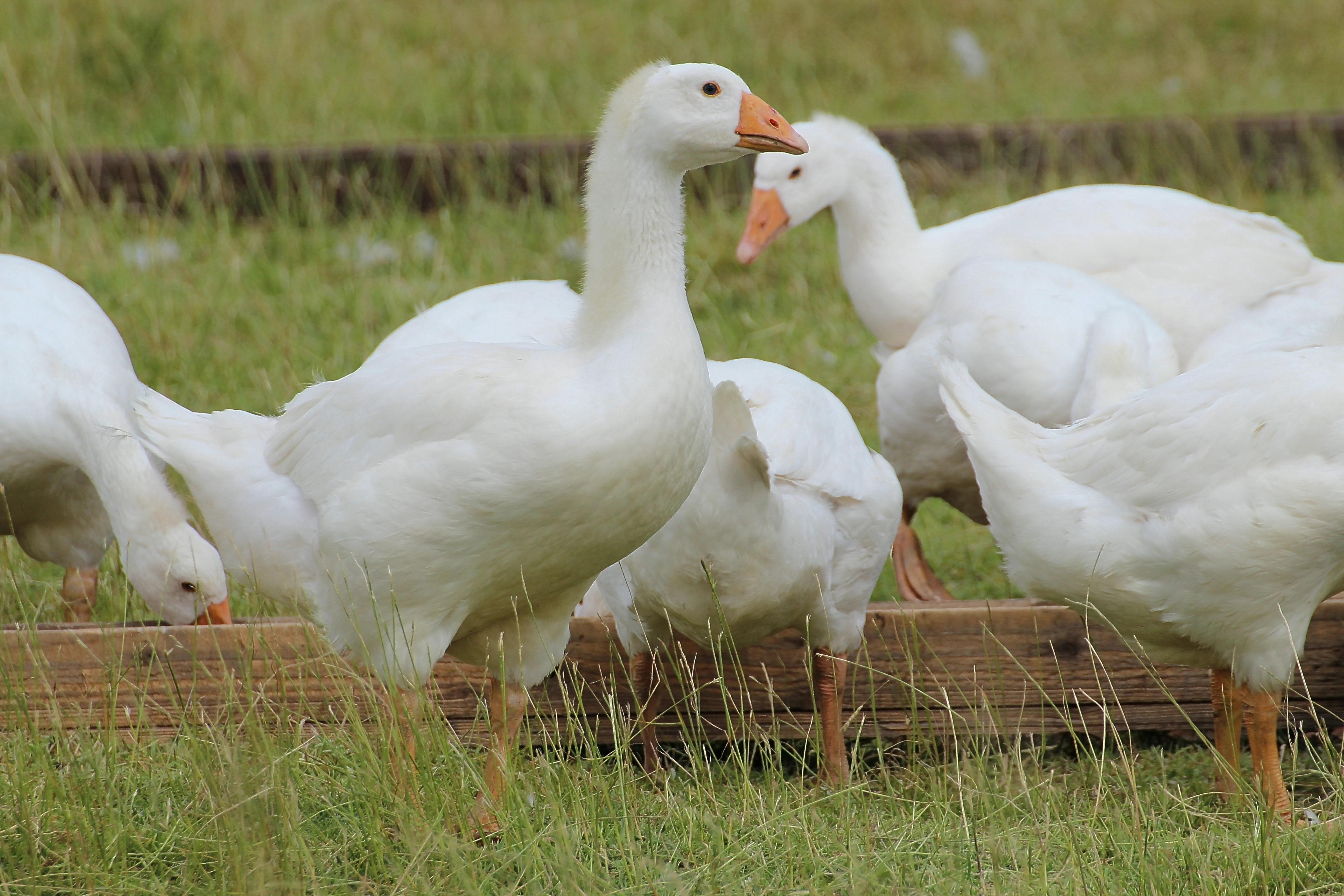 Кормление домашних гусей - Своя ферма 33