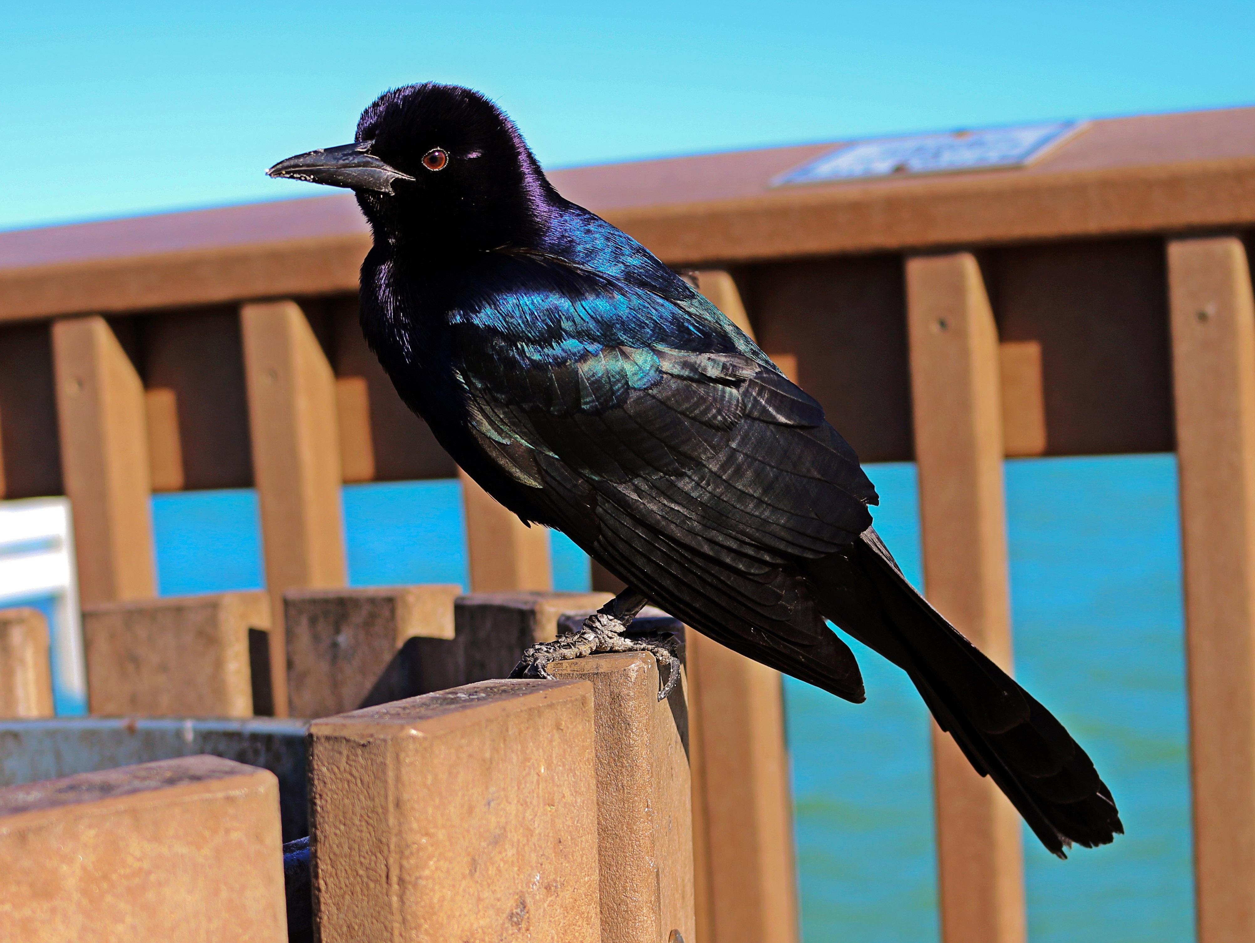 Velký černý pták obrázky ke stažení