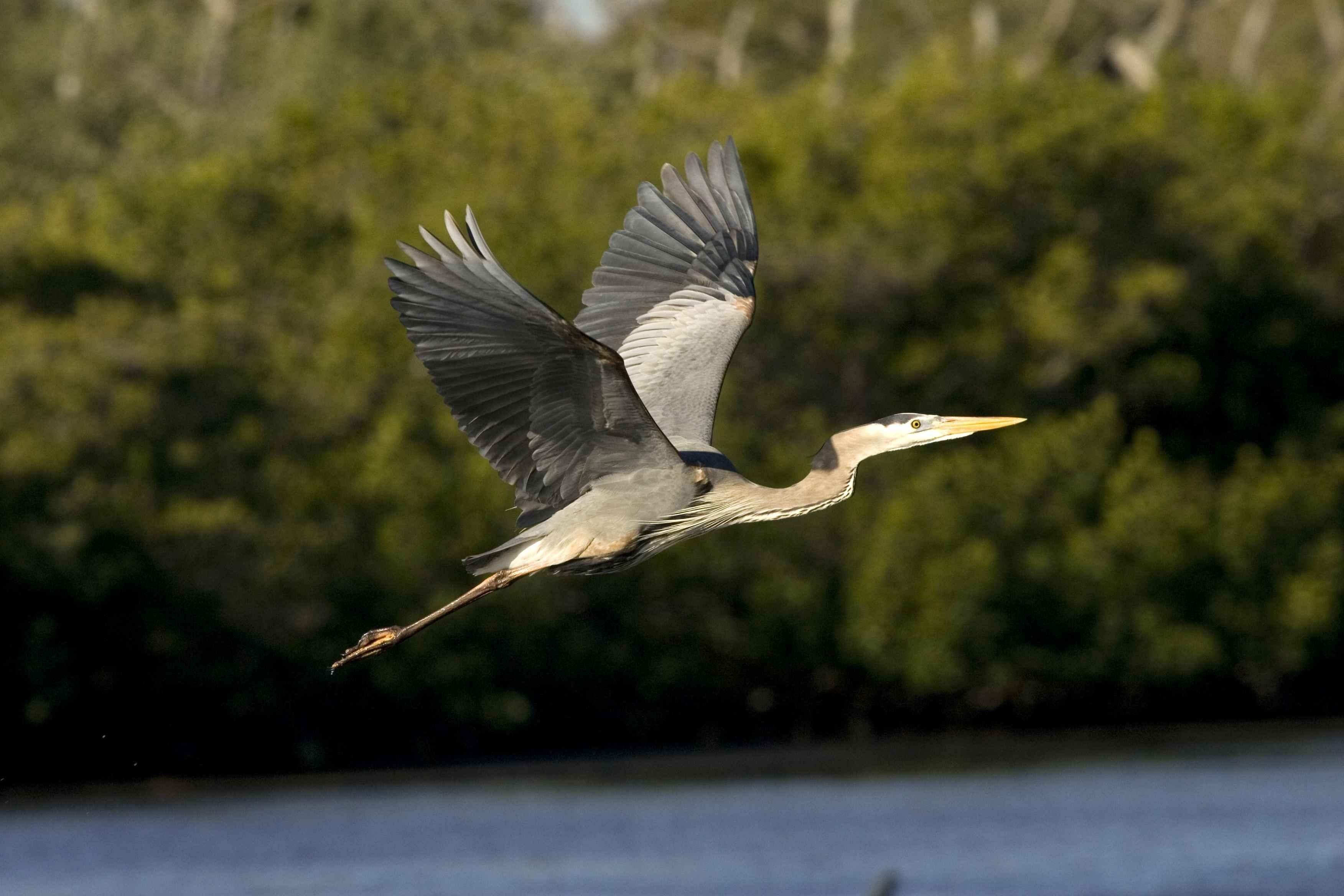 Free Images Nature Bird Wing Wildlife Flight Blue Fauna