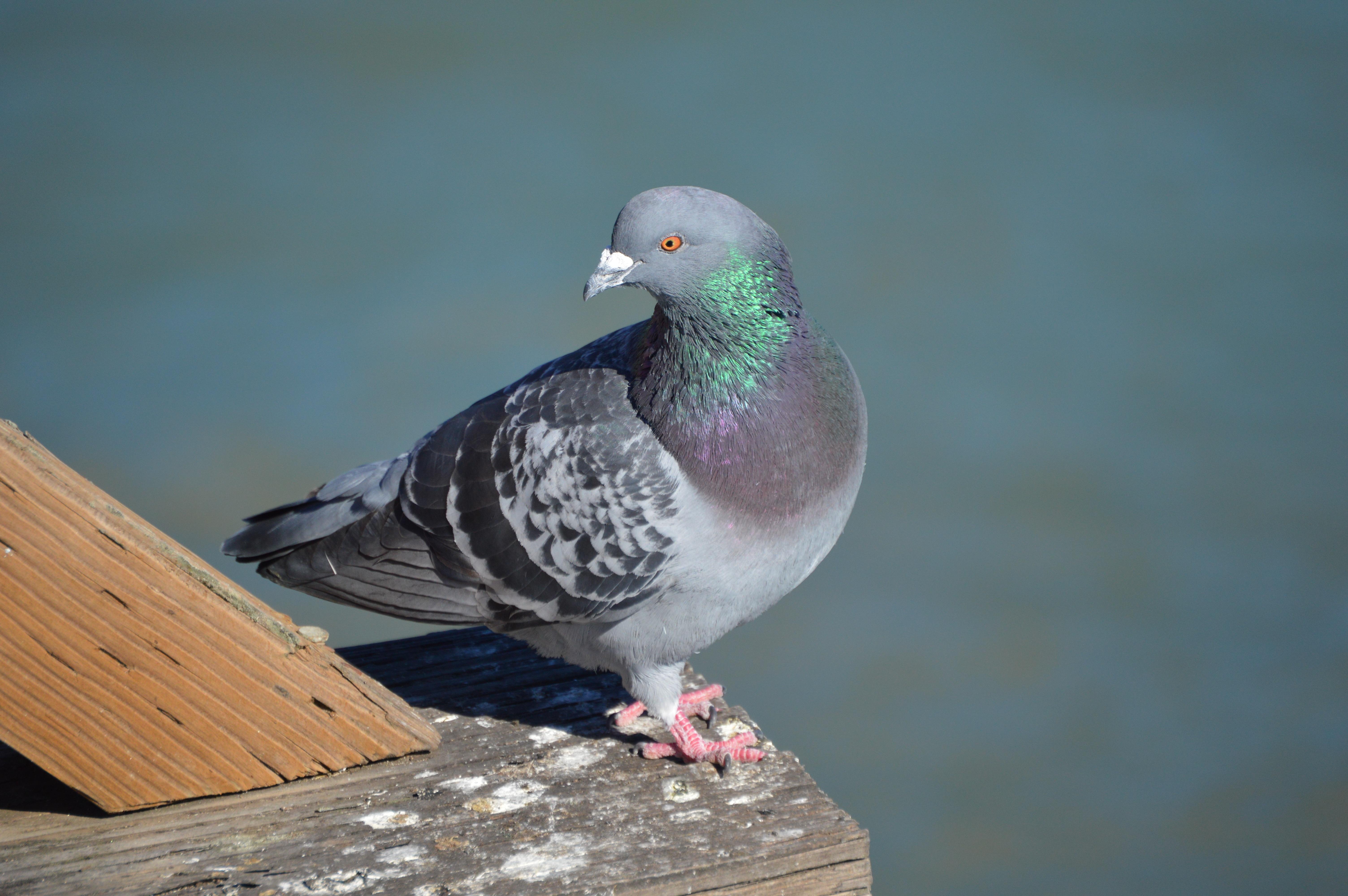 устойчив все о голубях фото картинки том, что иллюминация