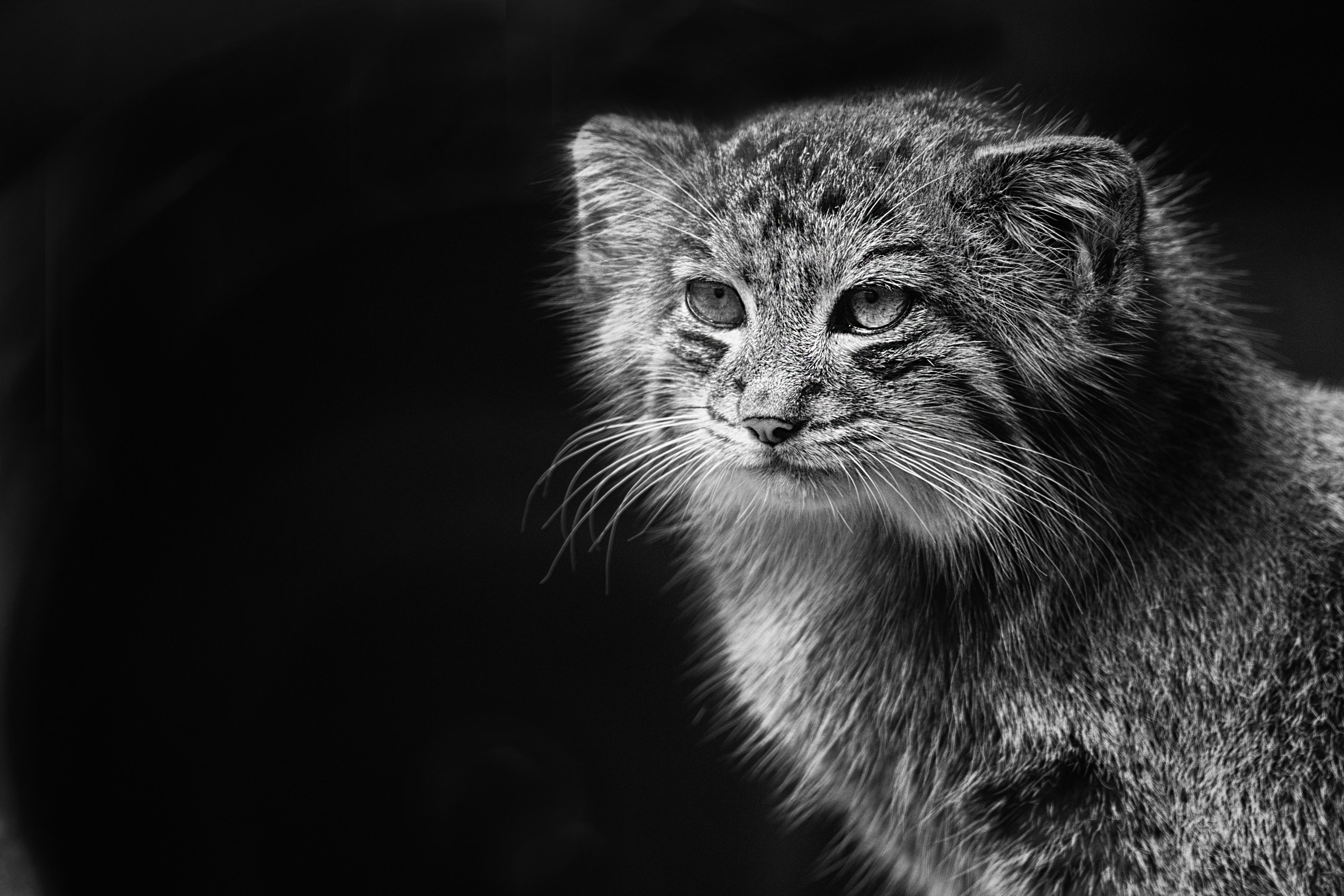Super Images Gratuites : la nature, noir et blanc, zoo, félin  JZ17