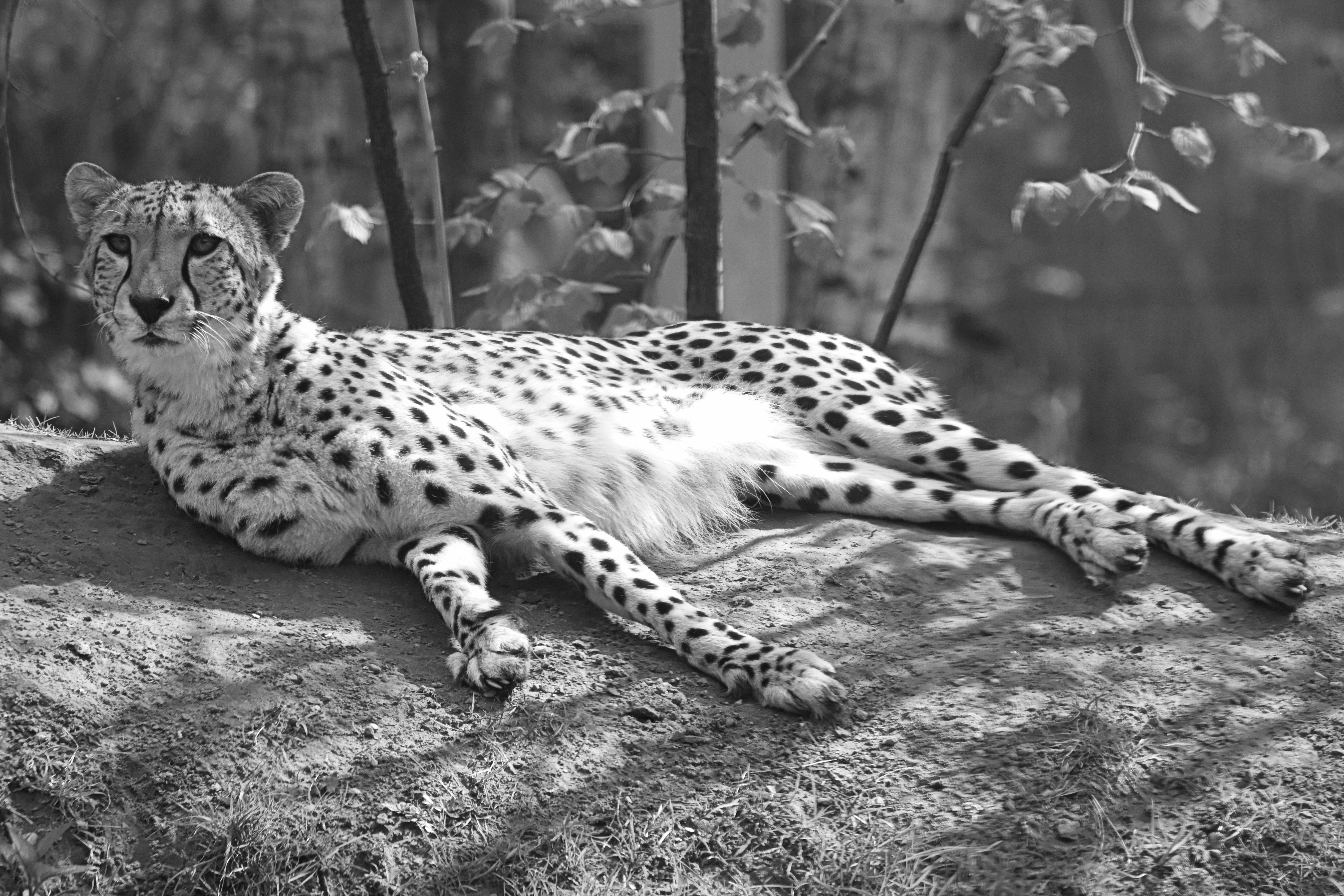 Free Images : nature, black and white, animal, wildlife ...