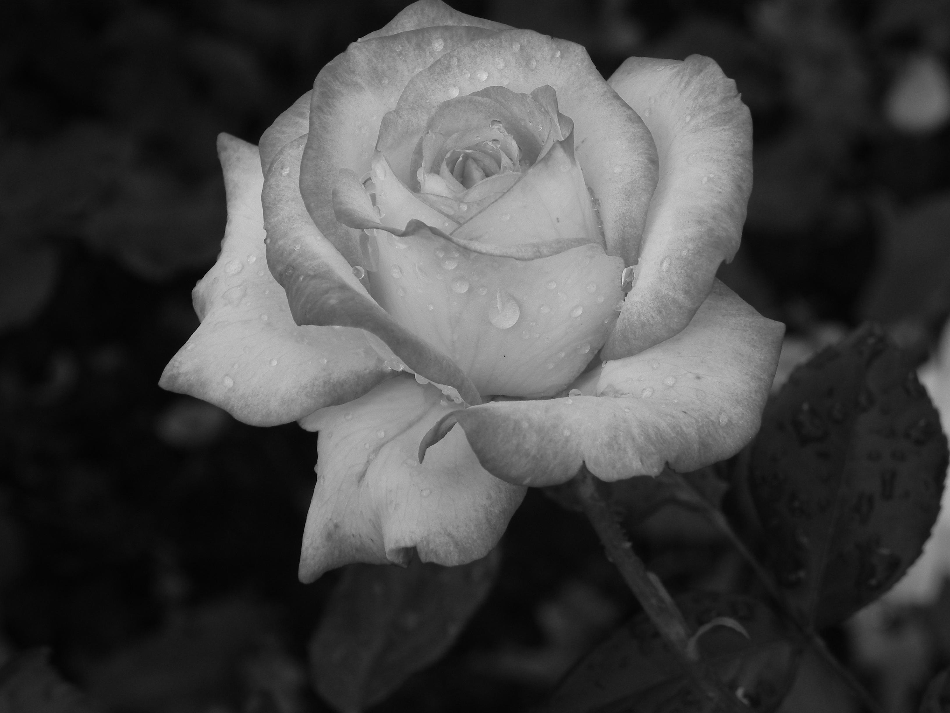 Fotos Gratis Naturaleza En Blanco Y Negro Fotografía Flor