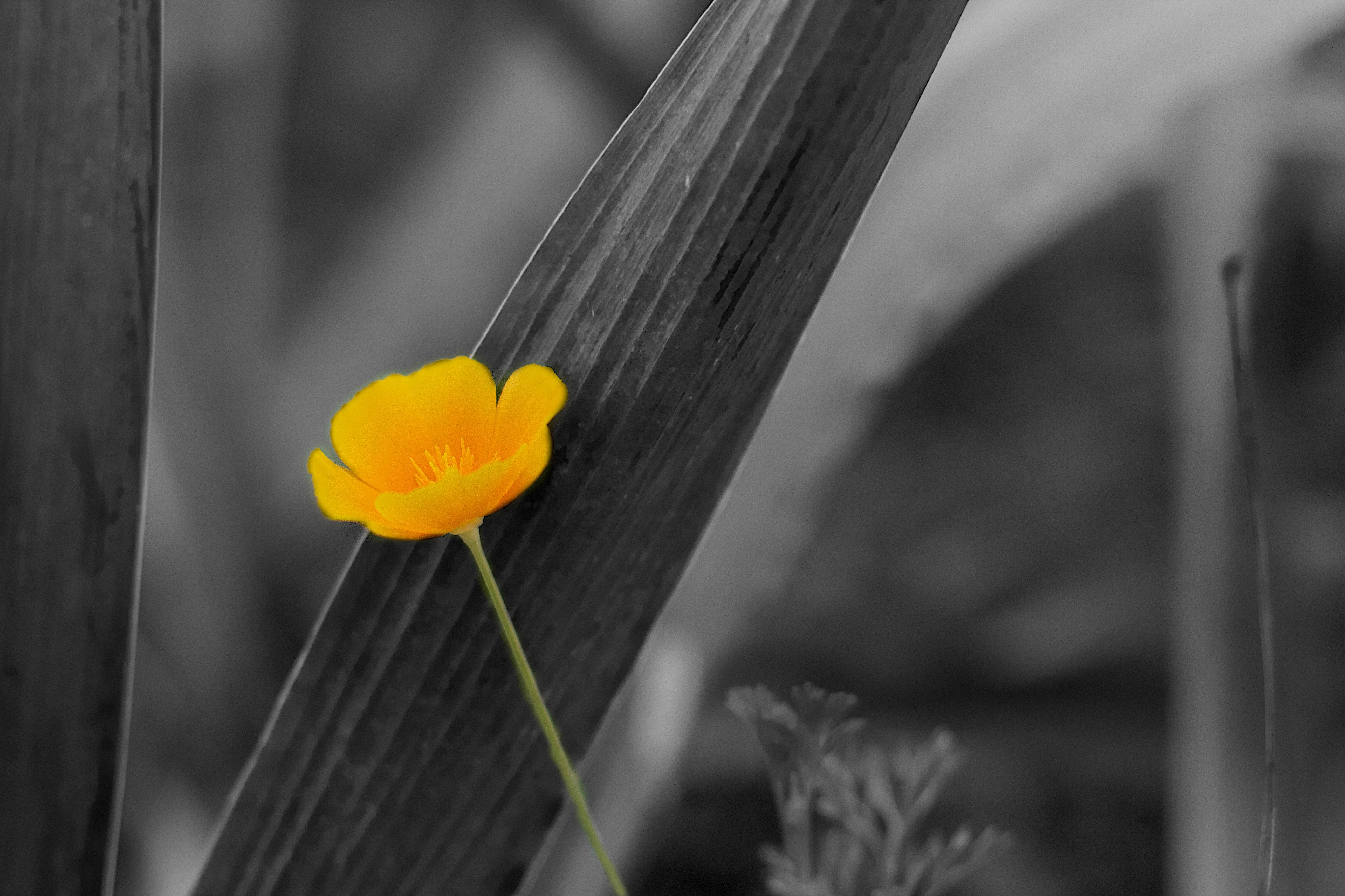 Nature Black And White Plant Photography Sunlight Leaf Flower Petal Yellow Monochrome Flora Close