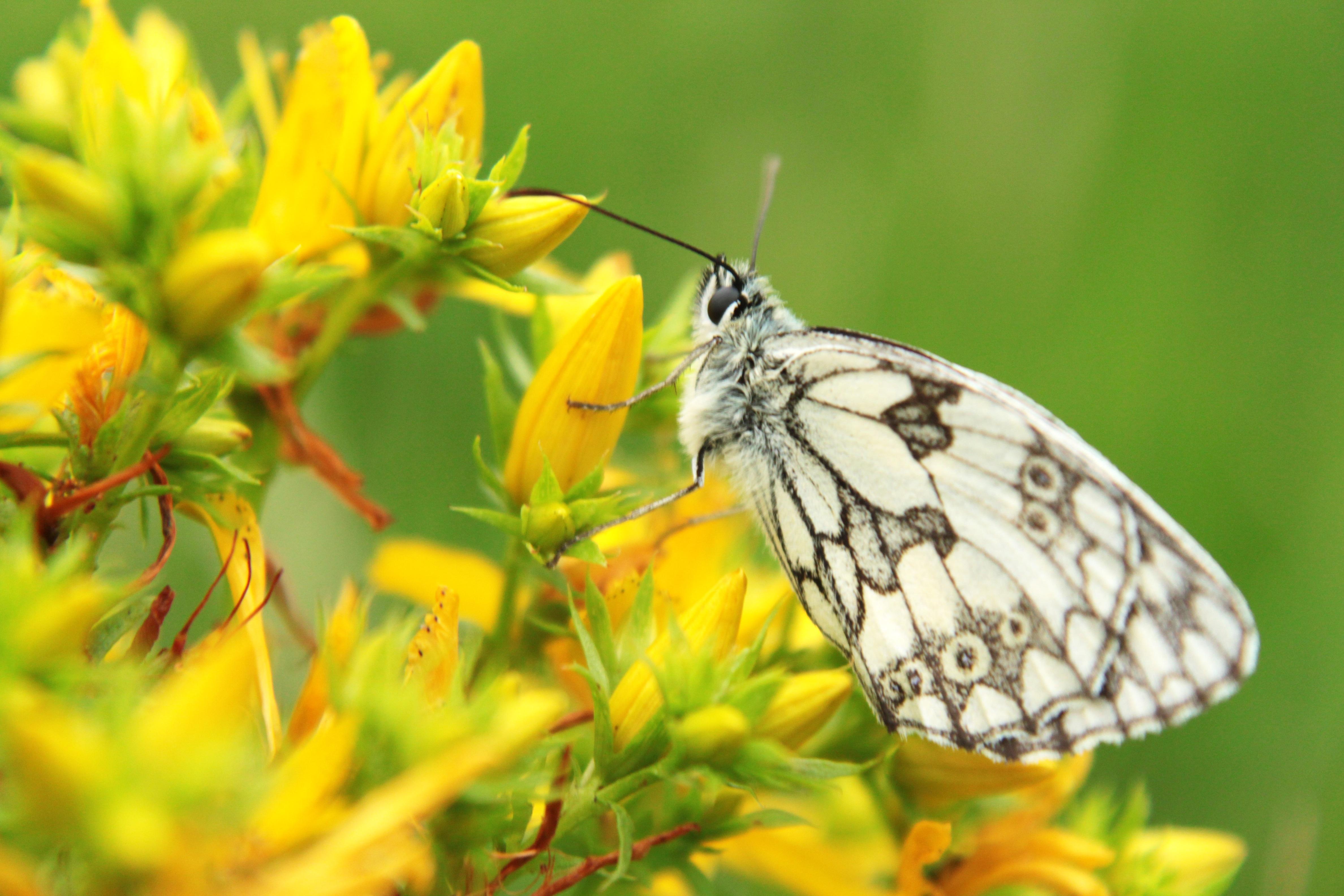 Images gratuites la nature noir et blanc prairie - Image papillon et fleur ...