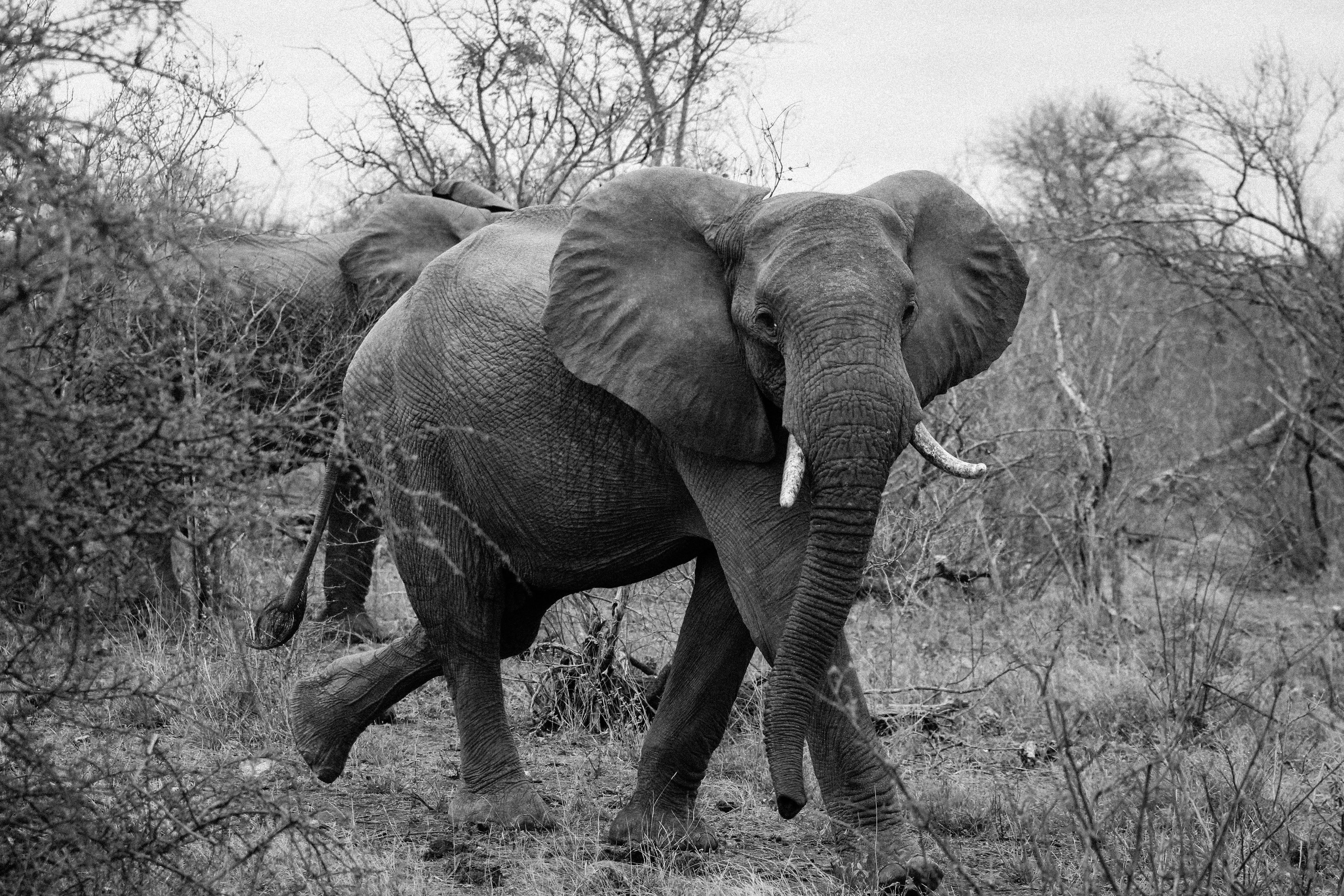 Картинки серого слона