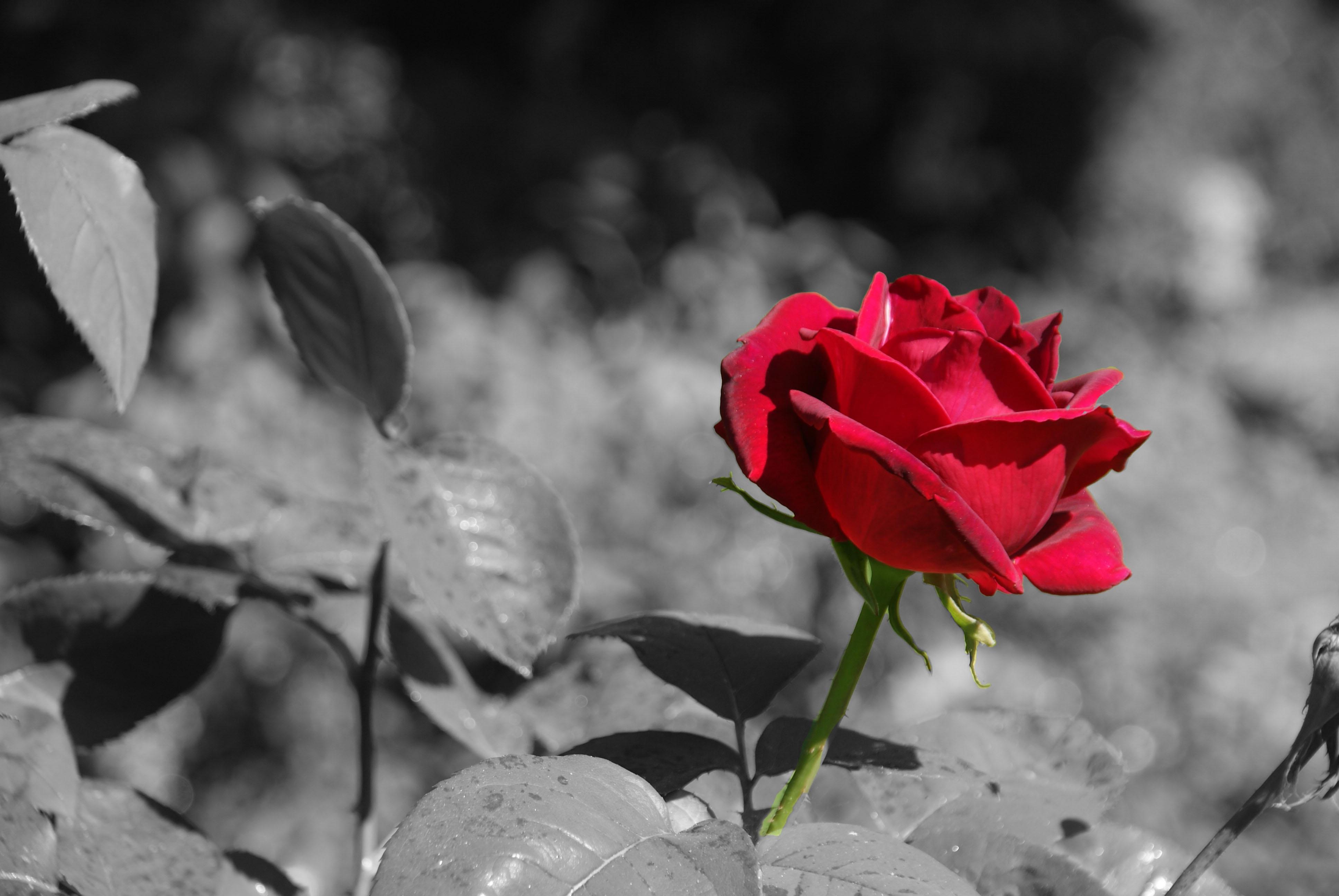 Fotos Gratis : Naturaleza, Flor, En Blanco Y Negro