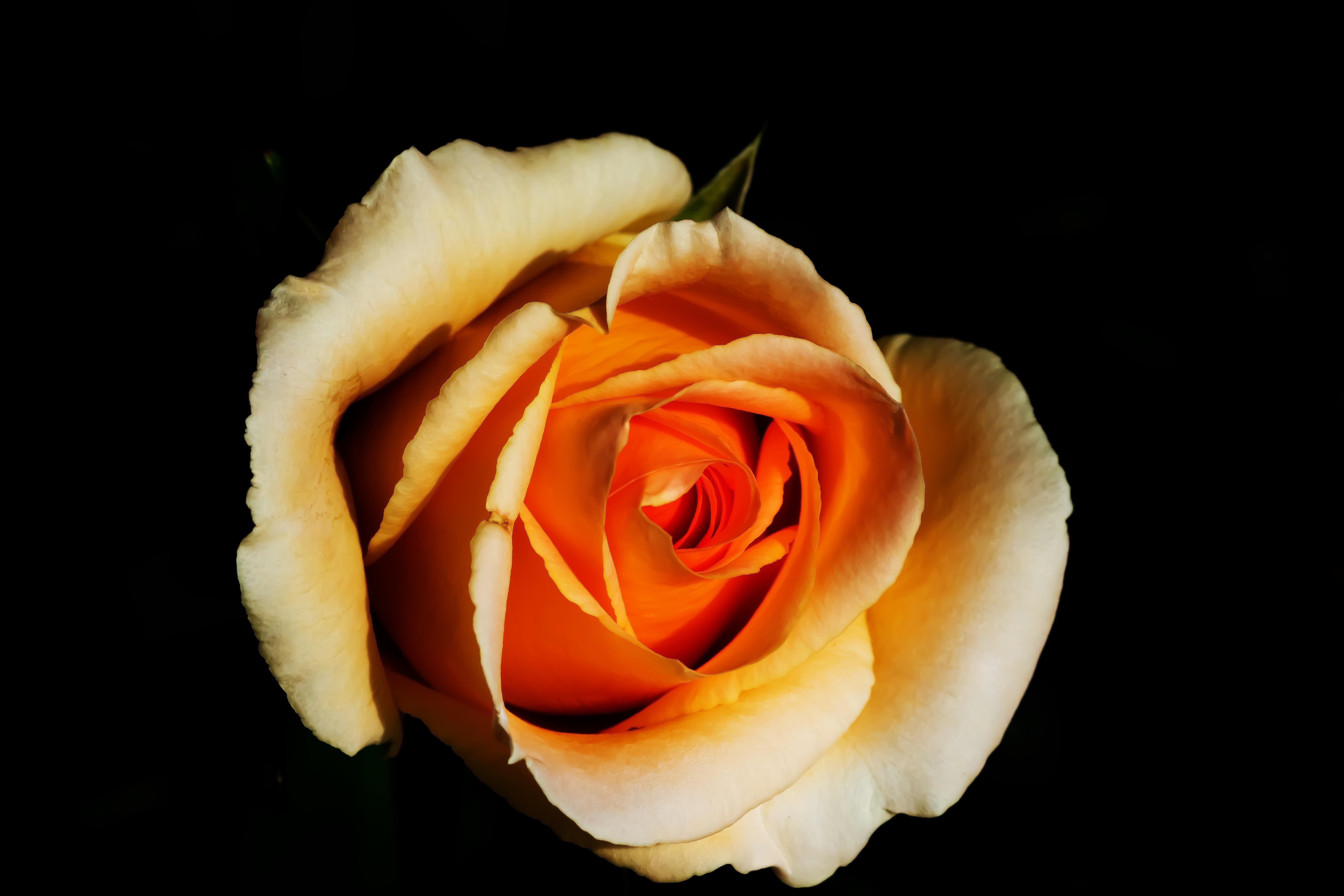 Images Gratuites La Nature Fleur Noir Et Blanc La Photographie