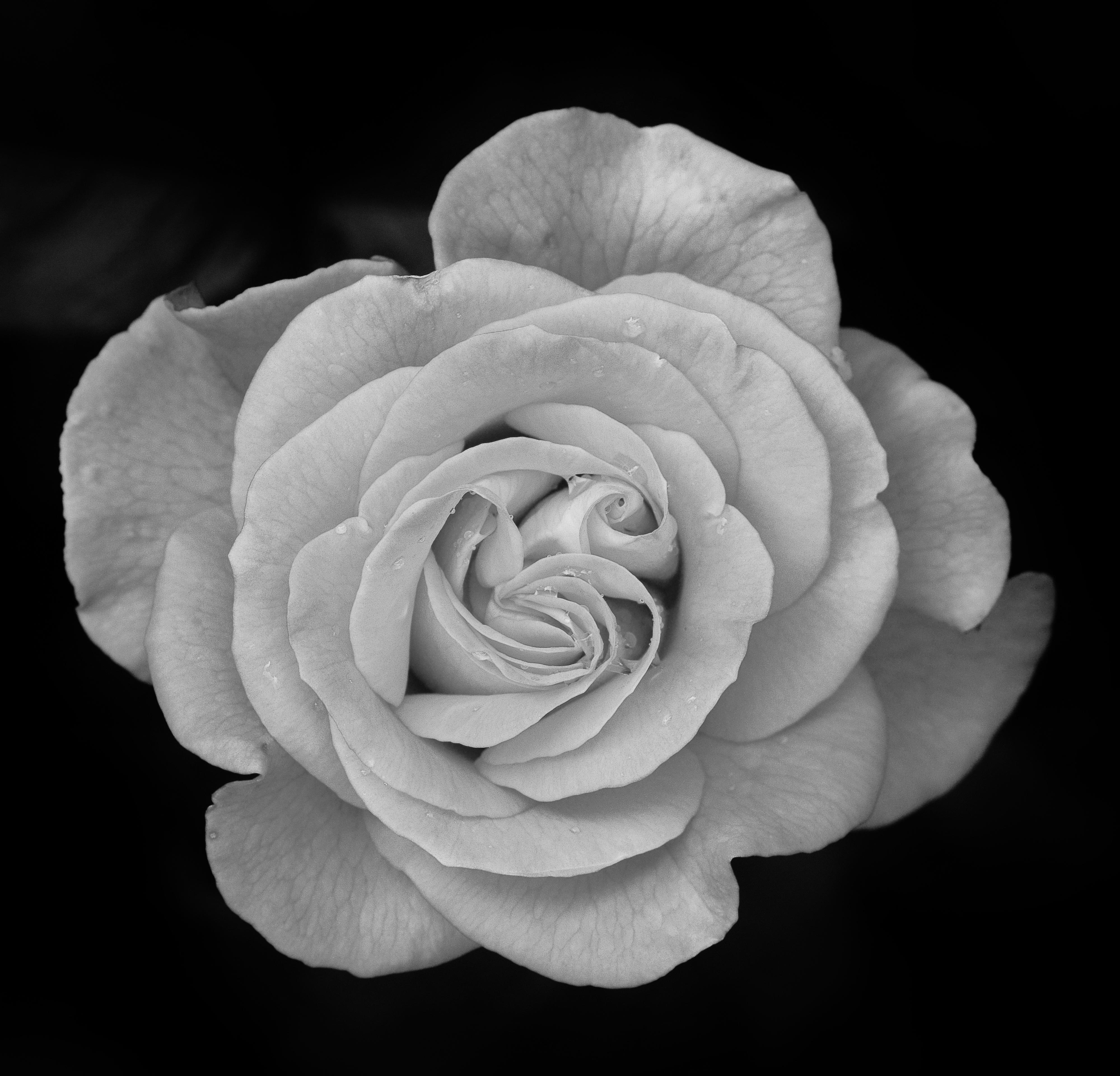 Garden Roses Flower Petal: Free Images : Nature, Blossom, Black And White, Flower