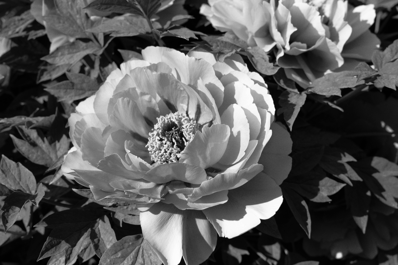 Images Gratuites : la nature, fleur, noir et blanc, la photographie, pétale, Floraison ...