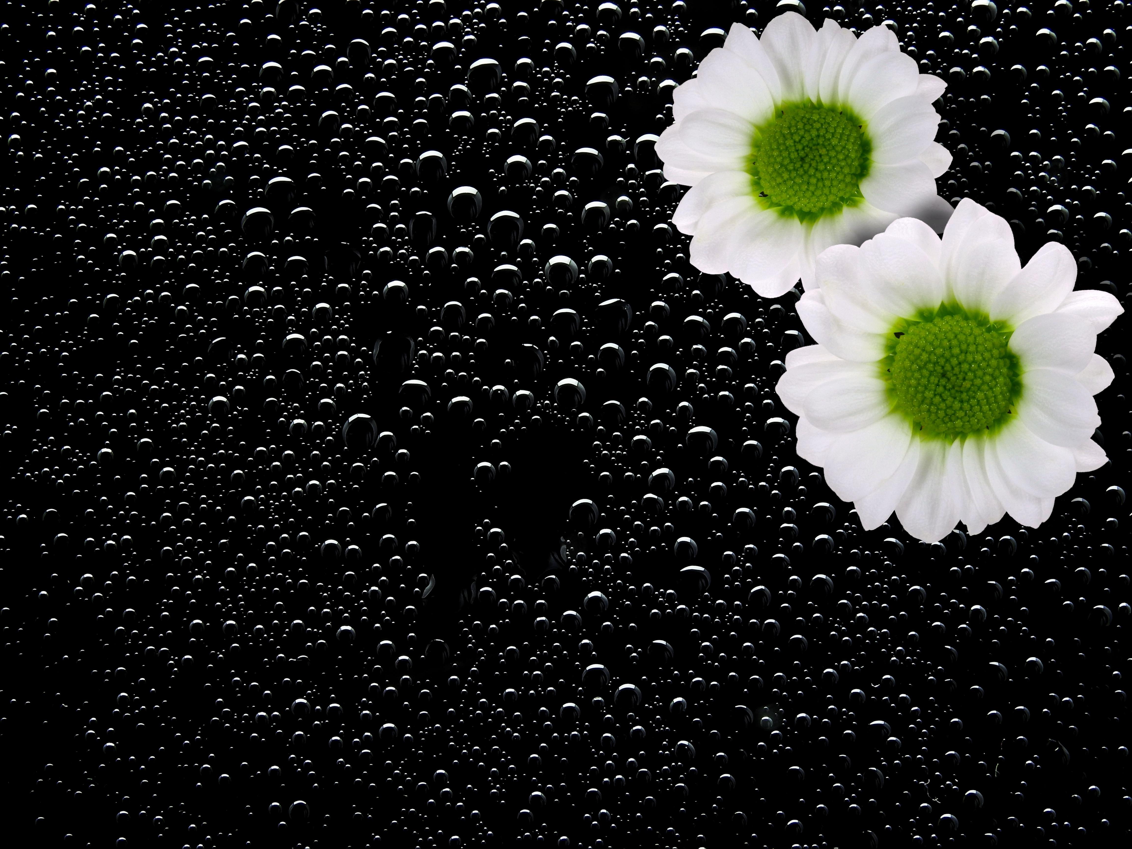 hình ảnh : thiên nhiên, đen và trắng, thực vật, nhiếp ảnh, Cánh hoa, ướt, mùa hè, Mùa xuân, màu xanh lá, Đơn sắc, Hệ thực vật, bản đồ, Nhỏ giọt, hình ...