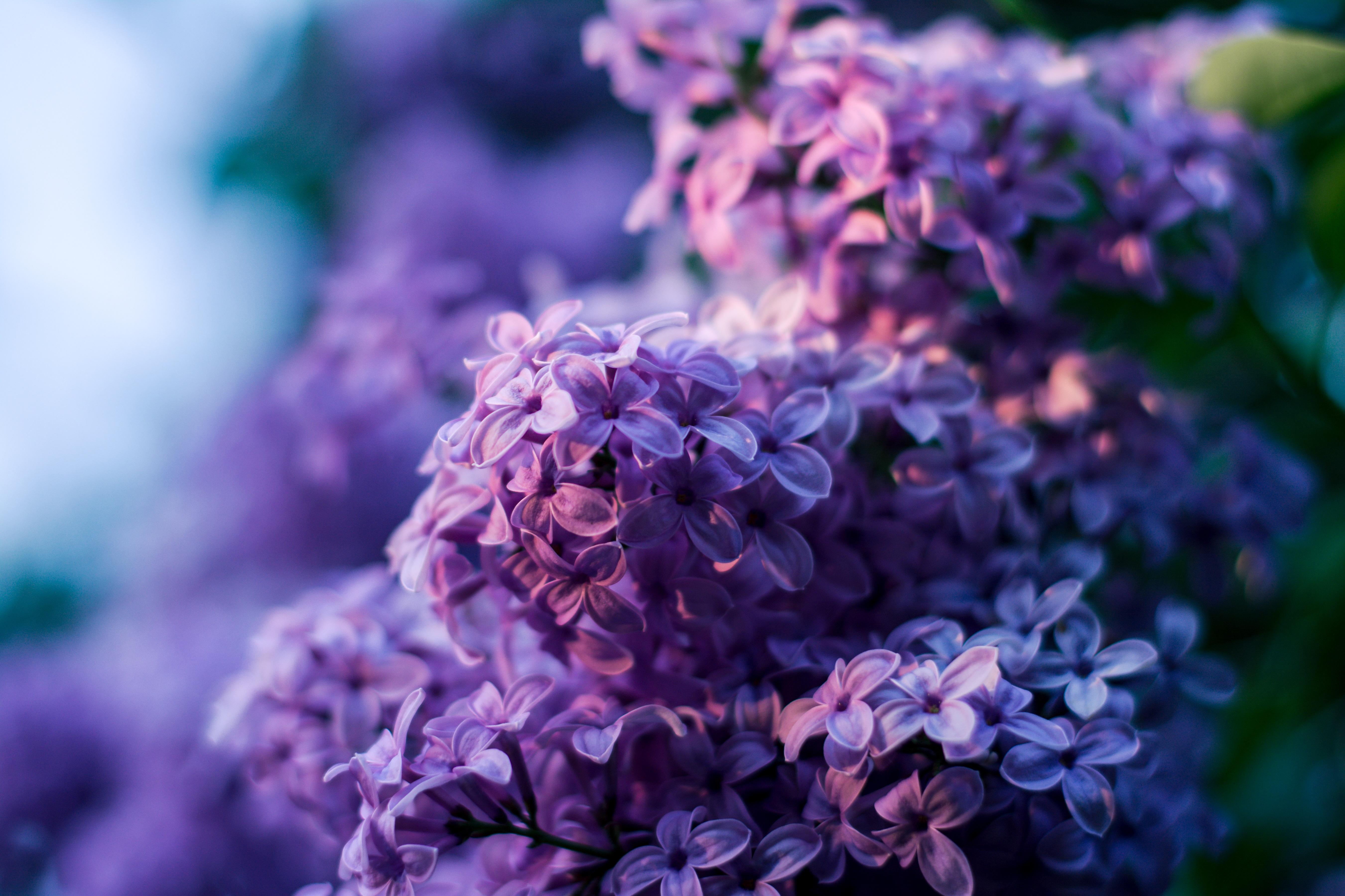 Free Images Nature Blossom Bokeh Petal Bloom Botany Blue